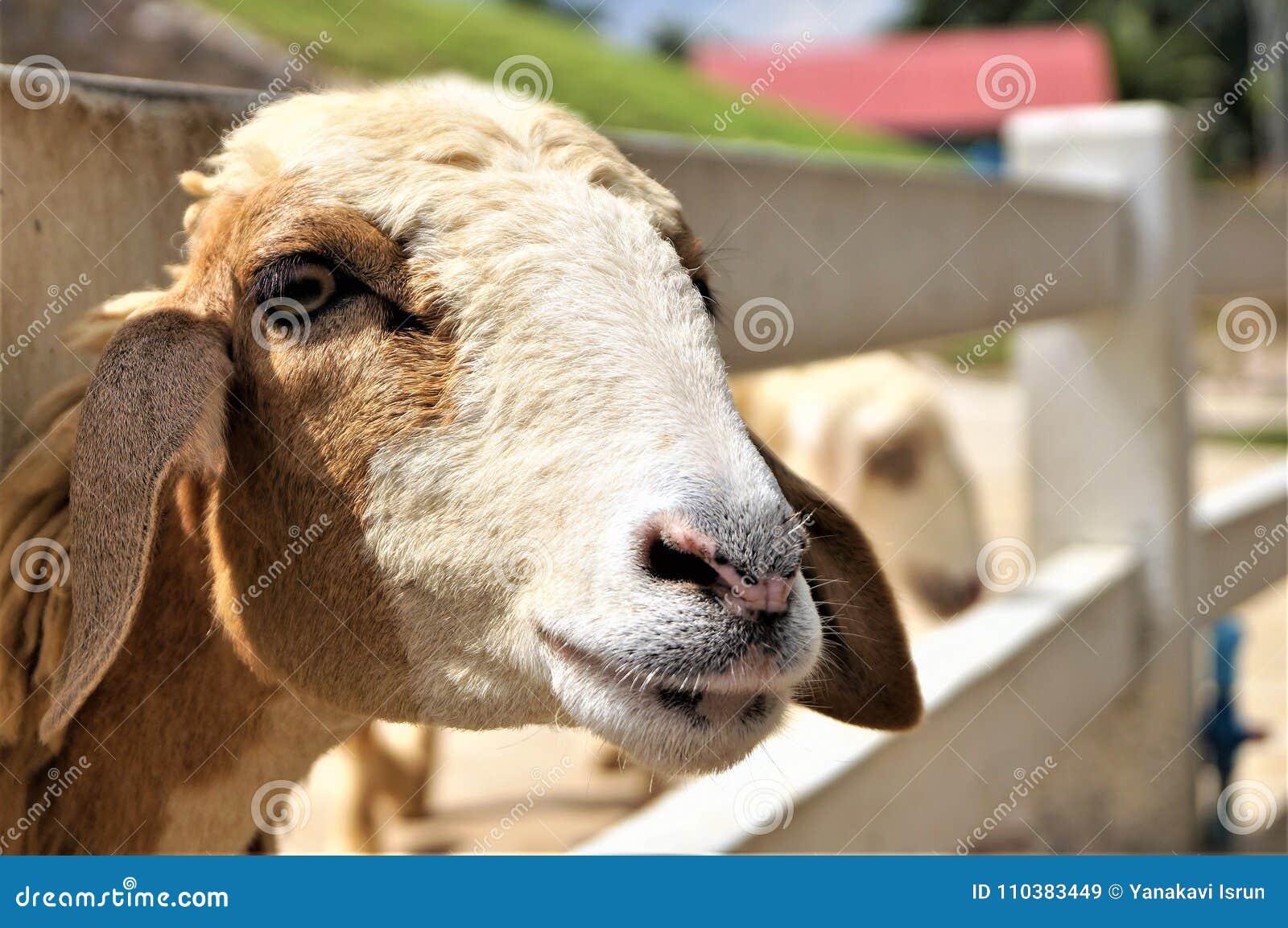 Bonjour voyage de vacances heureuses de moutons bon
