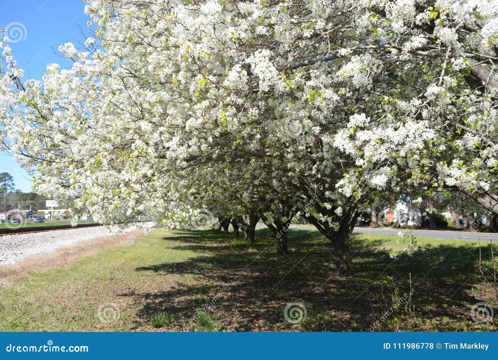 Bonkreta kwitnie w Pólnocna Karolina