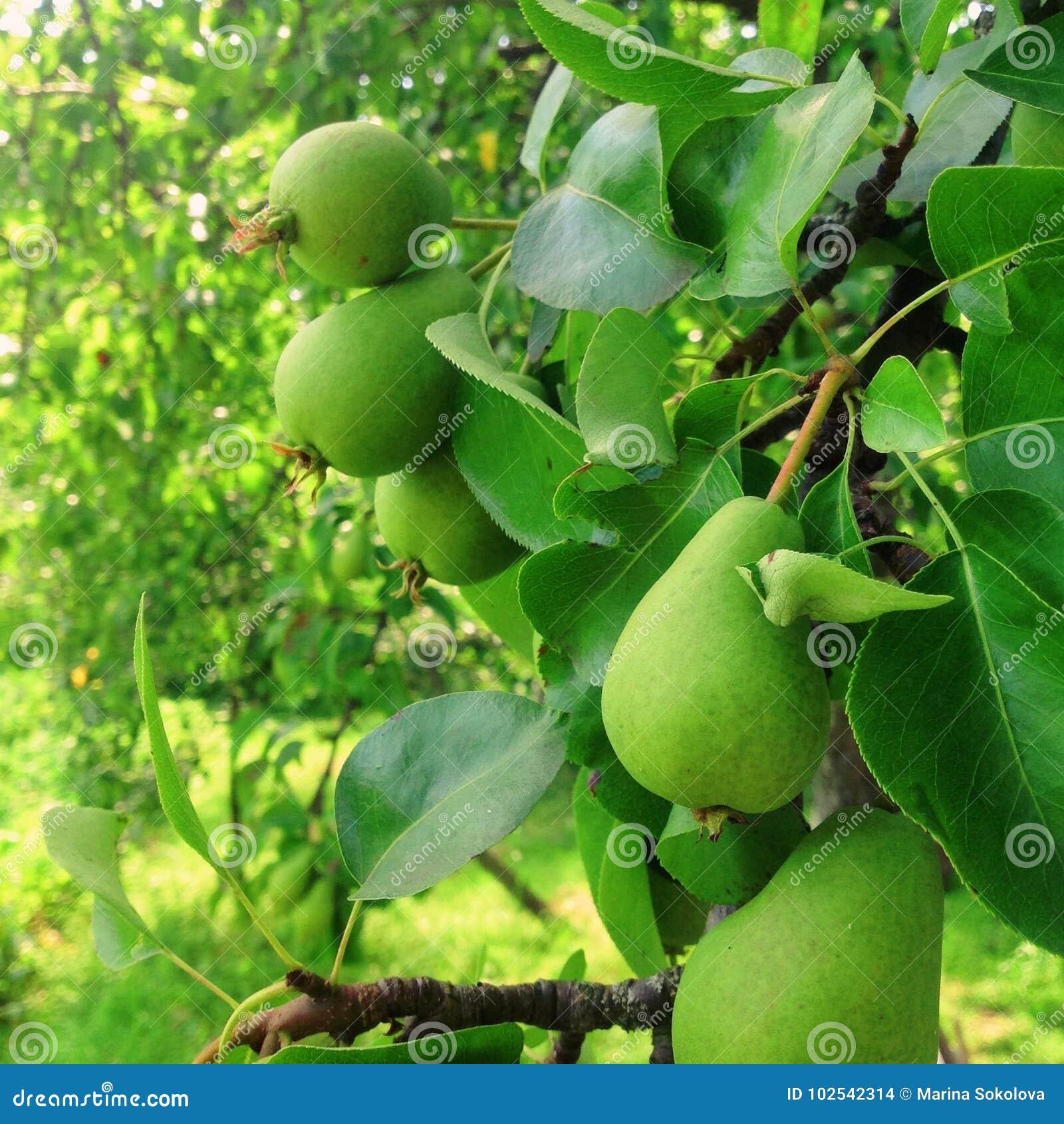 Bonkrety owoc na drzewie