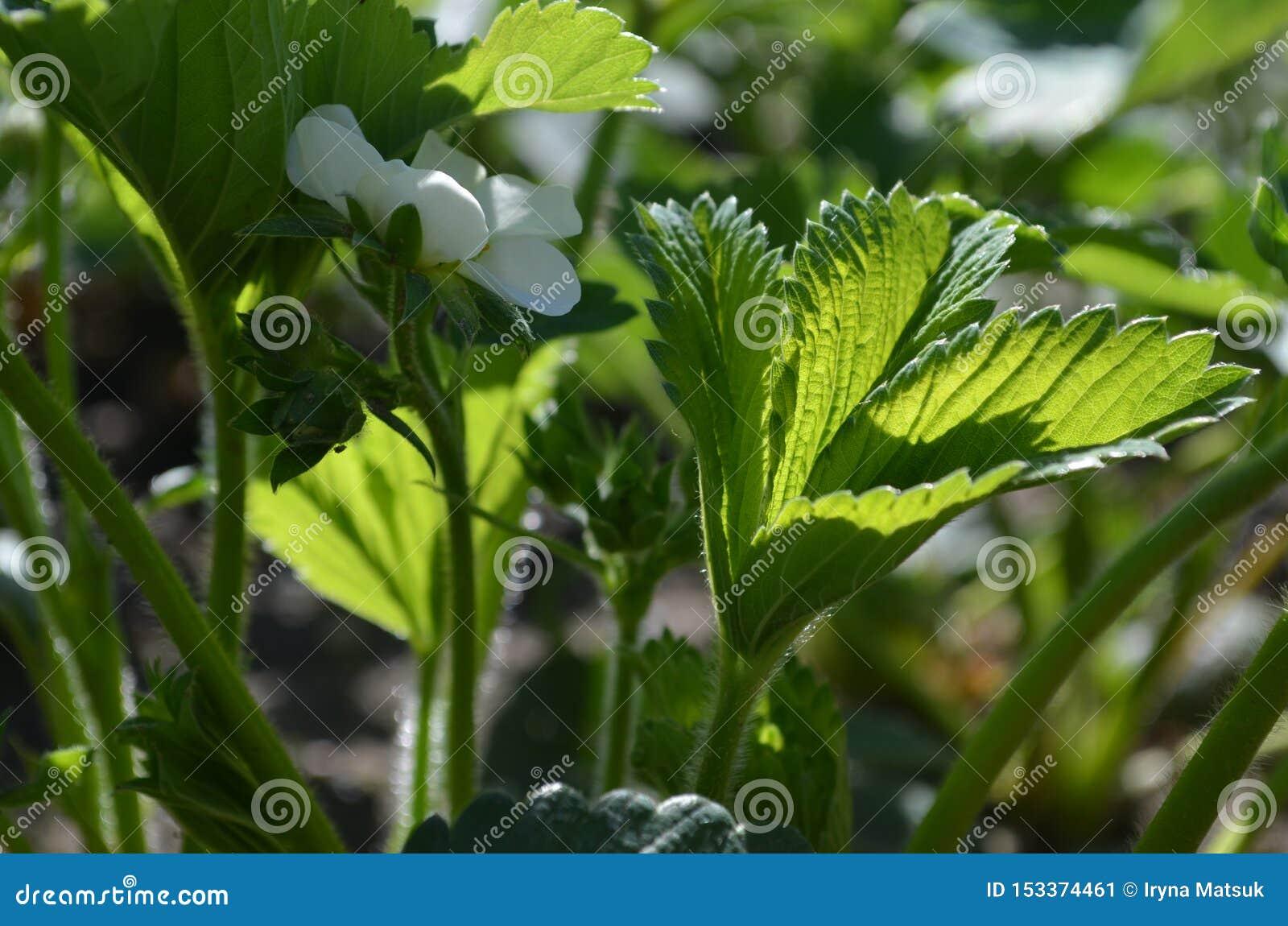 Bonne variété de fraises fleurissantes abondantes