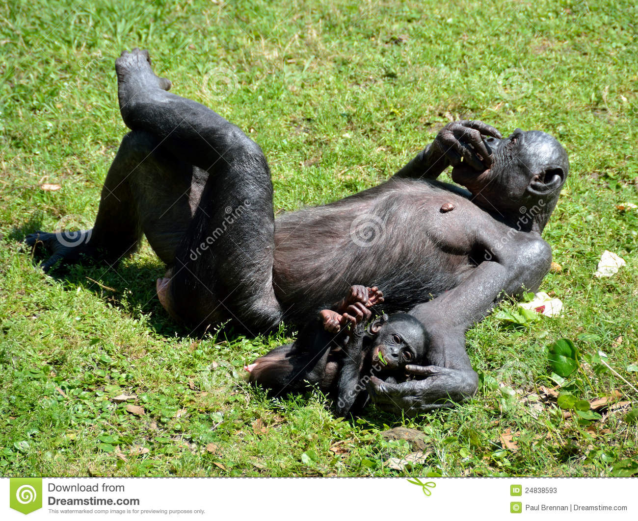Bonobo Ape With Baby Stock Photos - Image: 24838593 Cute Baby Pointing Finger