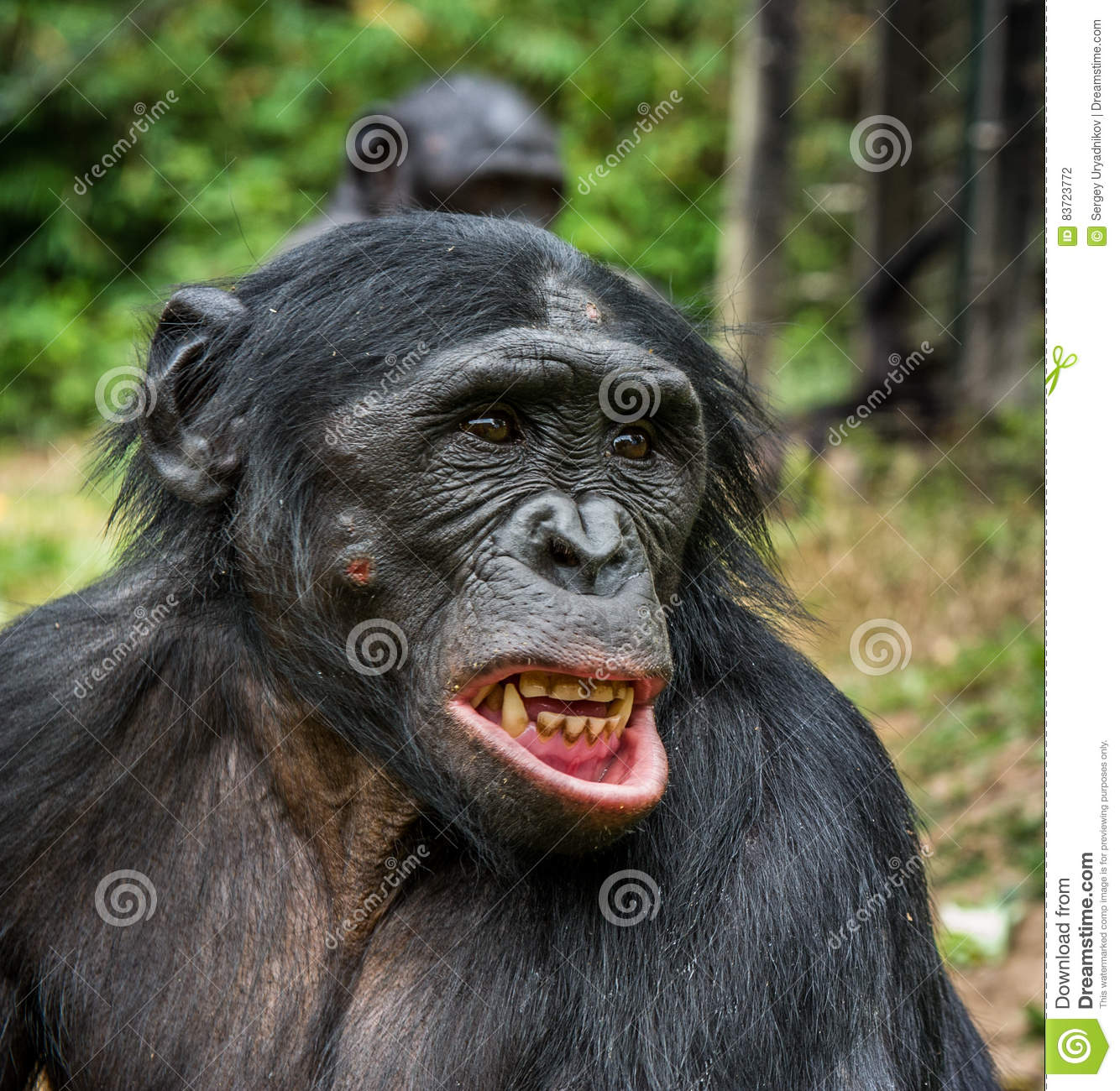 Bonobo With Open Mouth. Stock Photo