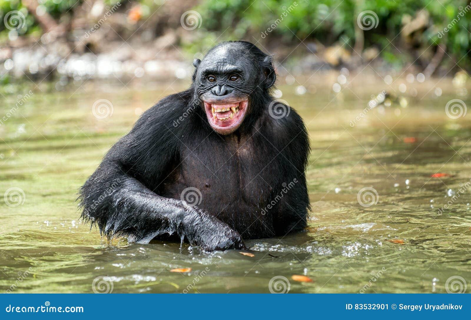 Bonobo sorridente dello scimpanzè nell acqua