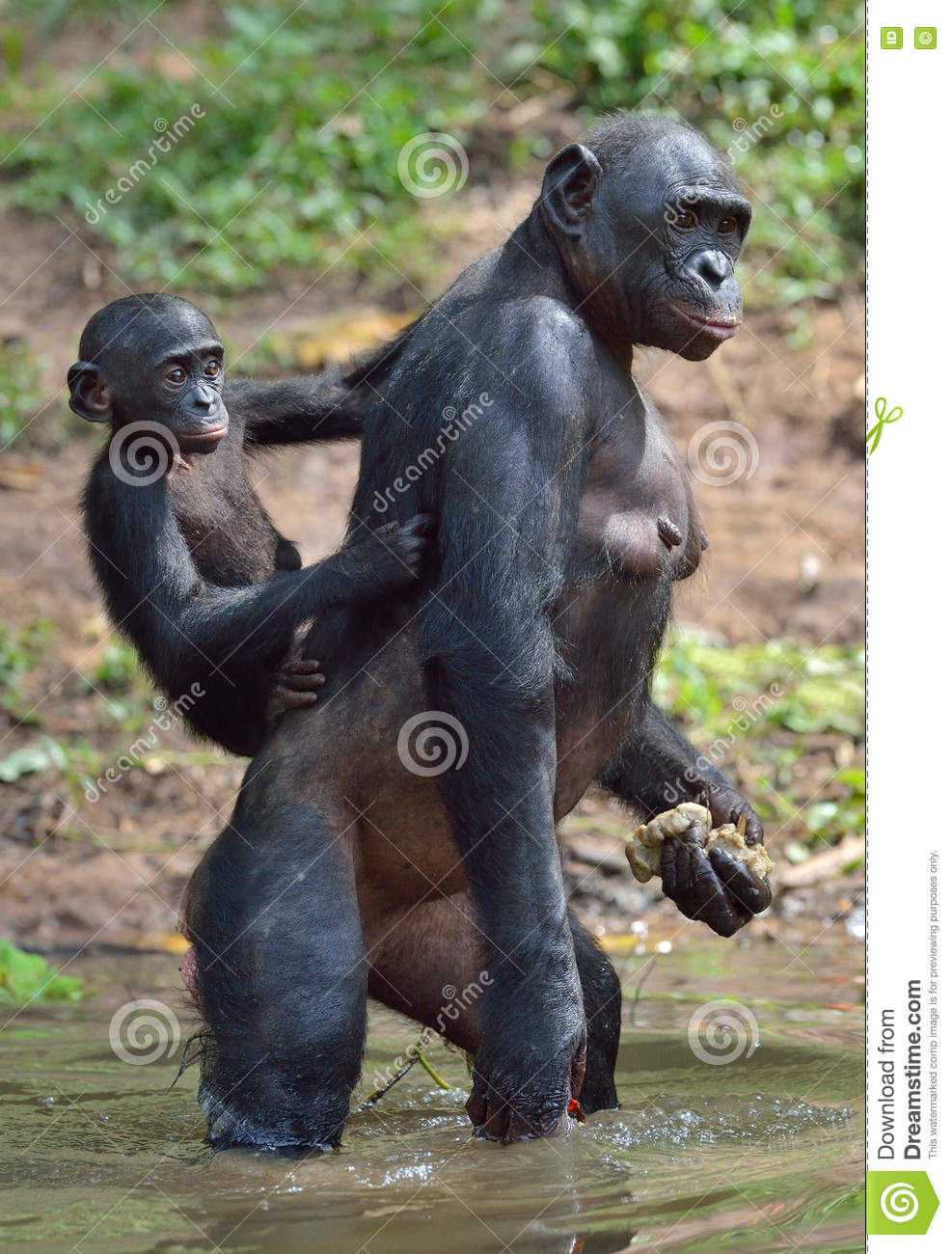 Bonobo Standing bonobo standing on her legs in water with a cub on a ...