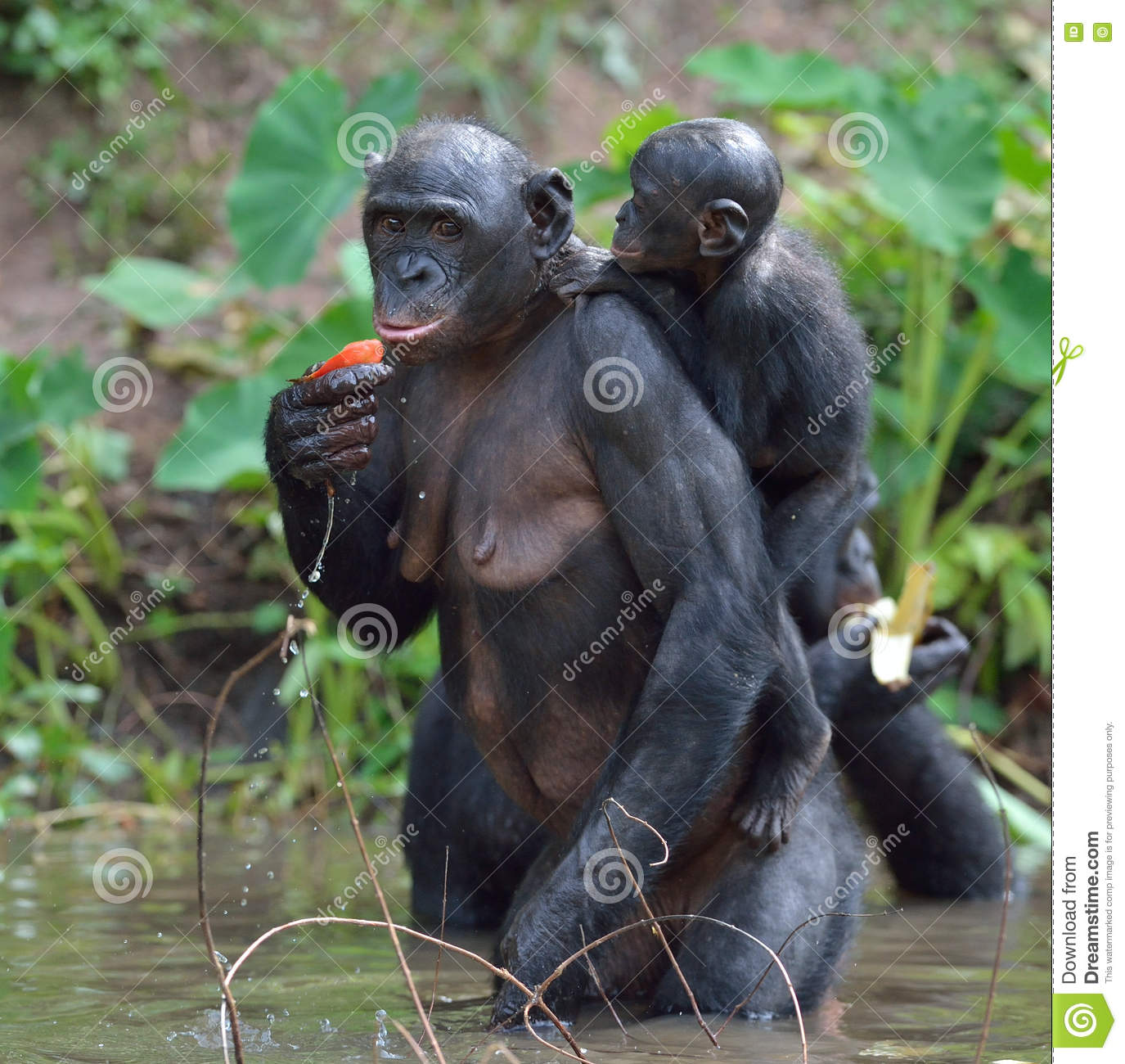 Bonobo Standing On Her Legs In Water With A Cub On A Back ...