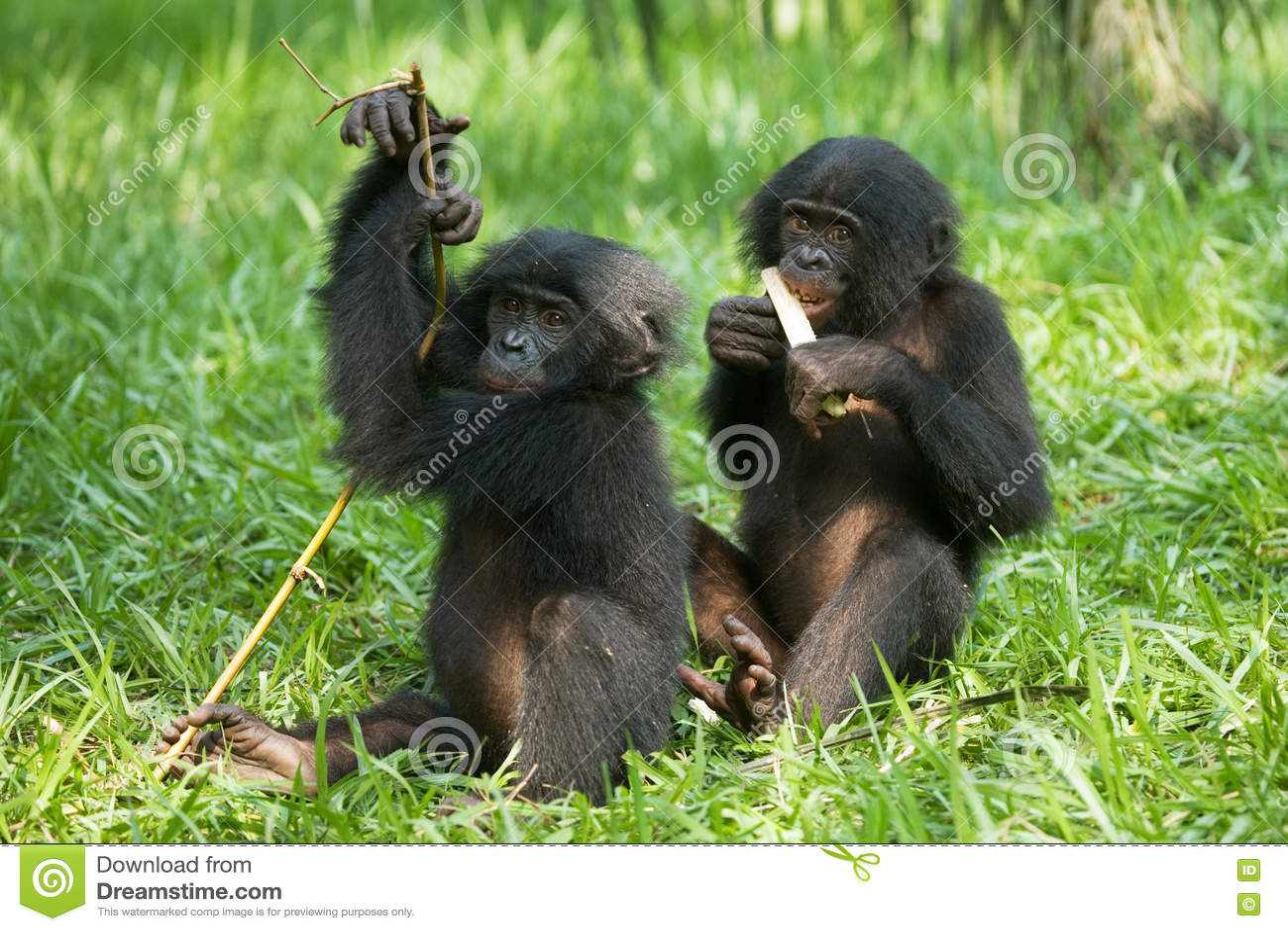 Bonobos Die Bambus Essen Demokratische Republik Kongo Lola Ya
