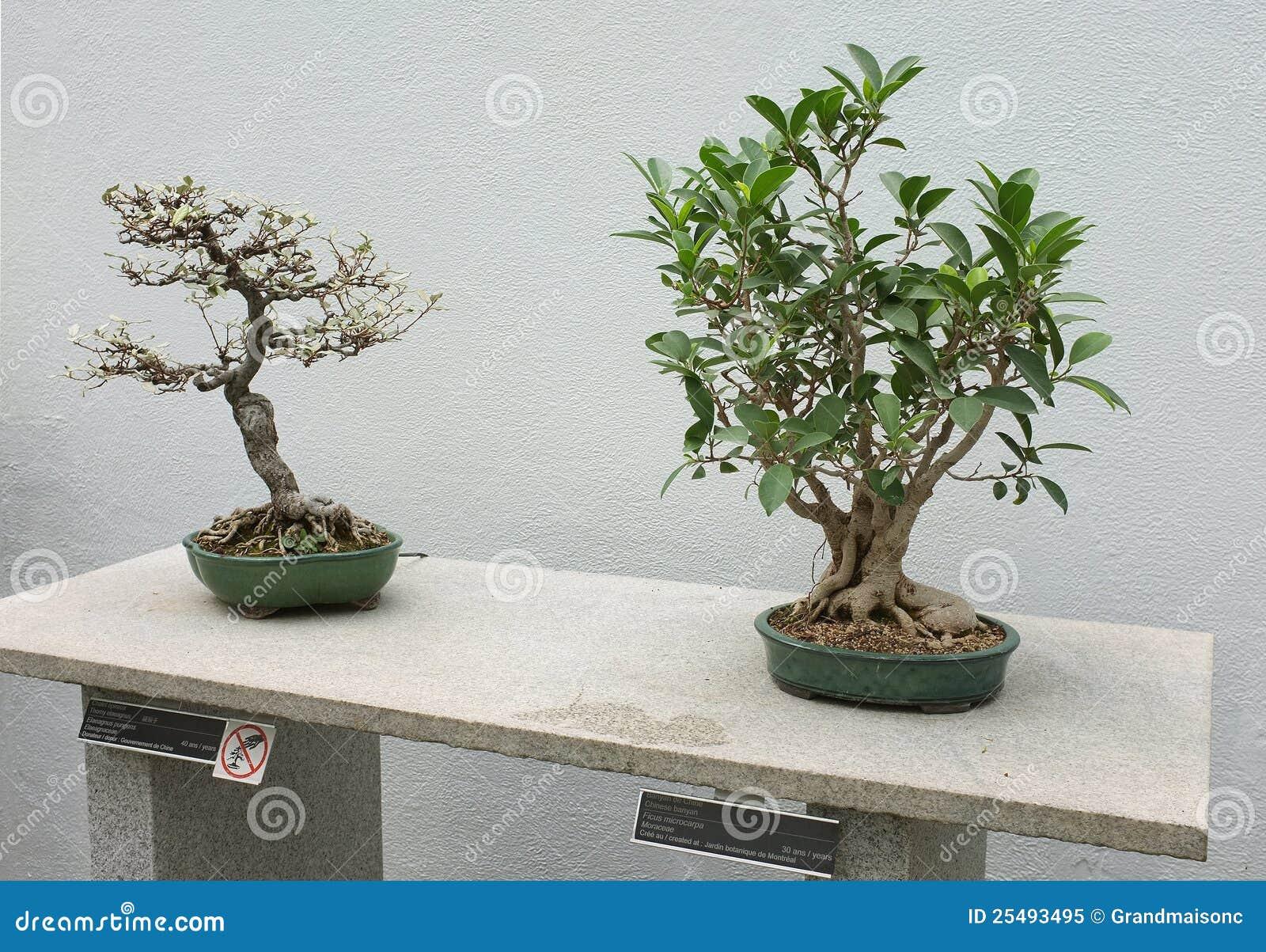 Bonsai immagine stock immagine di vivere estratto for Bonsai prezzi