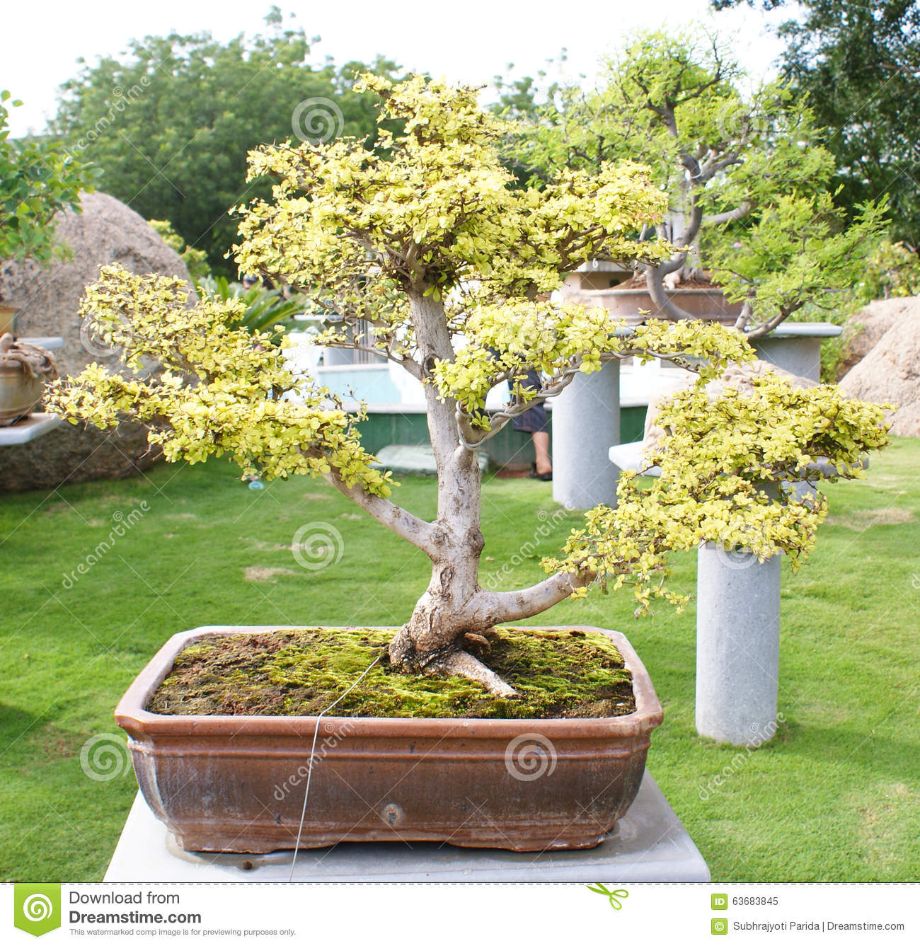 A Bonsai Banyan Tree In Ramoji Filmcity, Hyderabad Stock