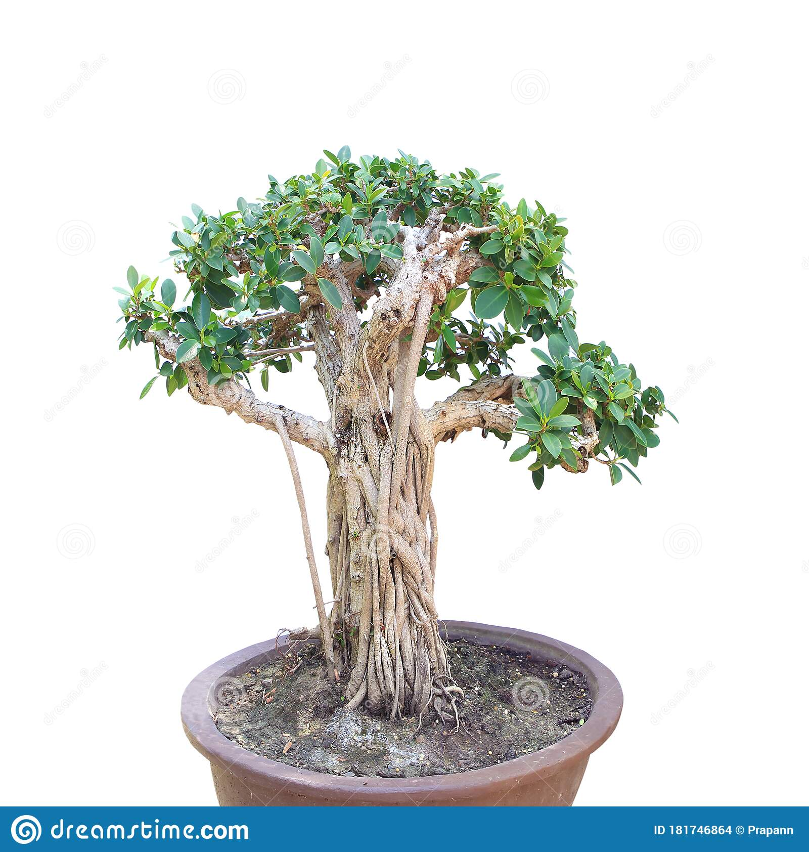 A Bonsai Banyan Tree On White Background Stock Photo Image Of Houseplant Cultivated 181746864