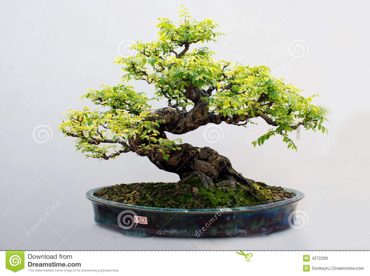 The bonsai of carambola tree