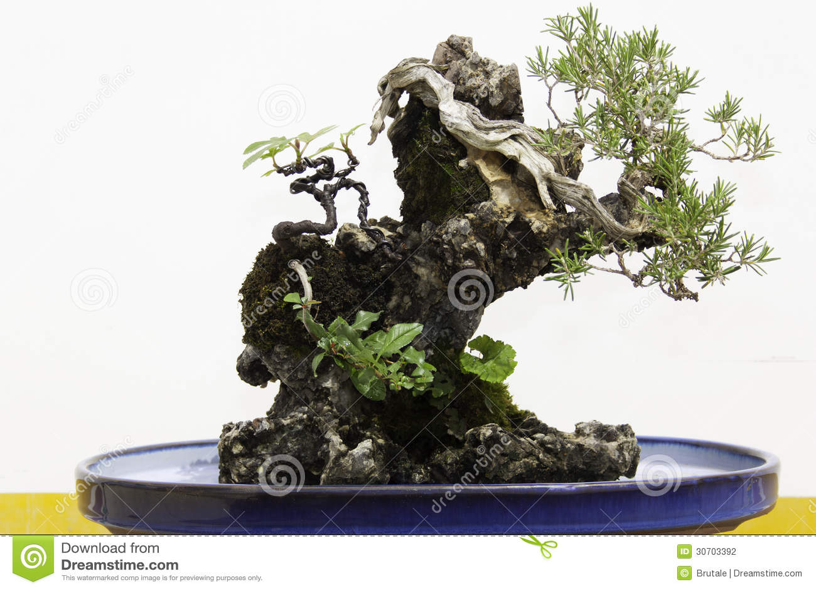 Bonsai Stock Photo Image Of Officinalis Botany Rosemary 30703392