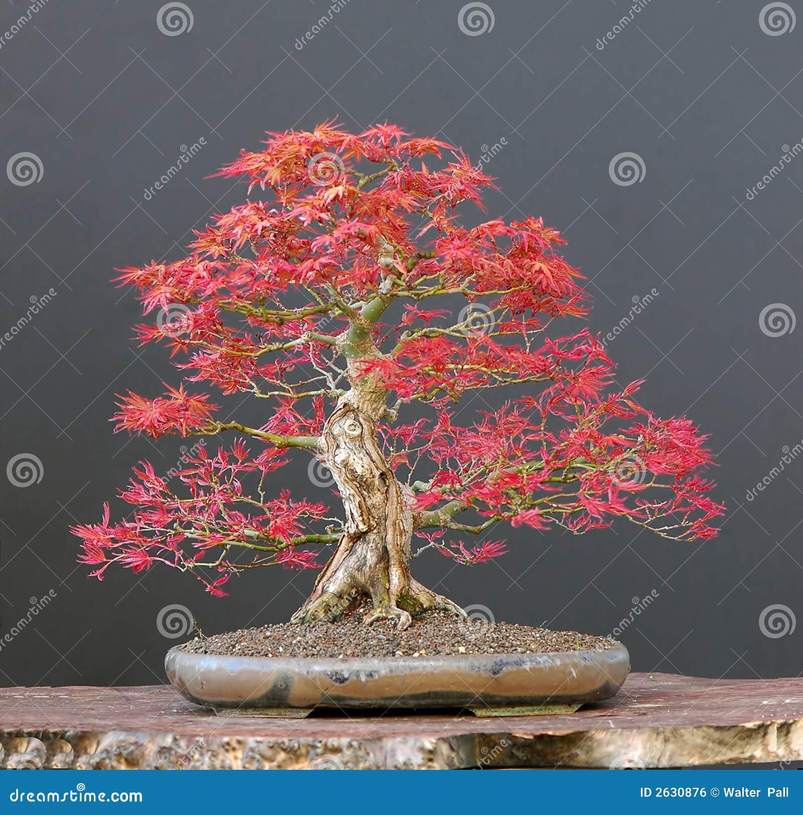 Bonsai dell 39 acero giapponese fotografia stock immagine for Acero rosso giapponese
