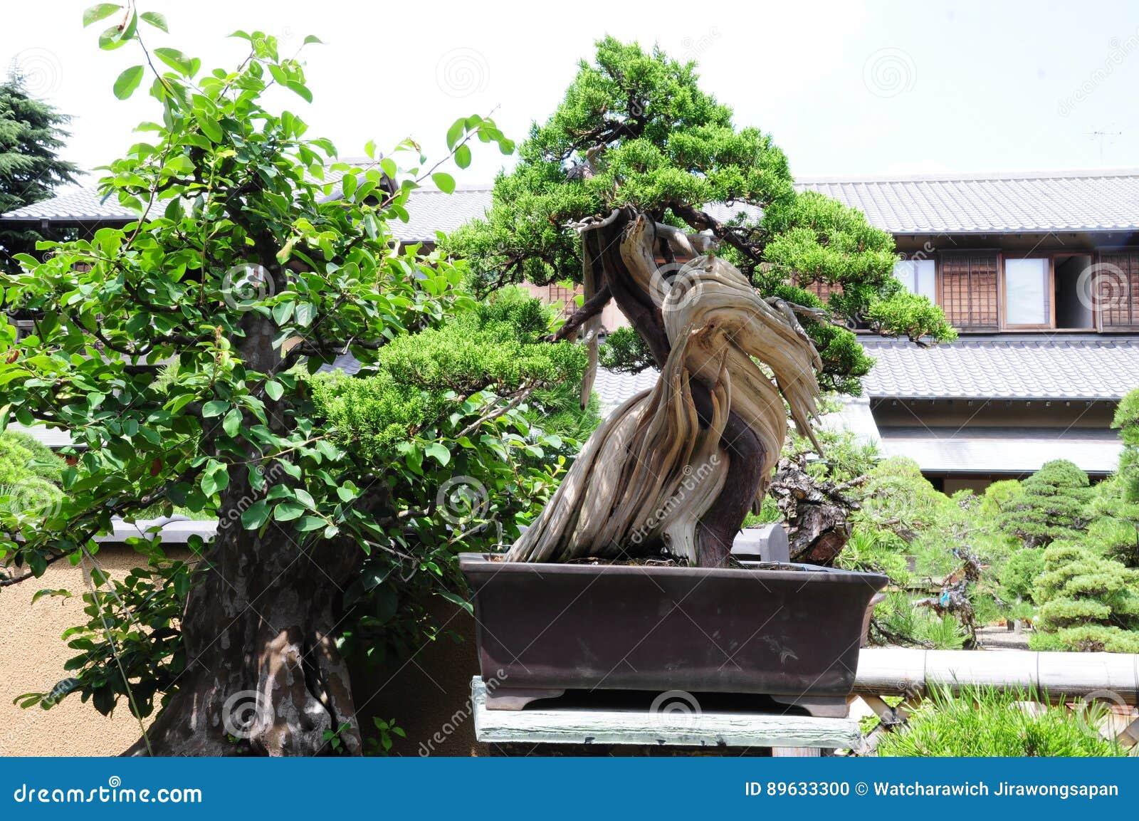 Bonsai di Pinetree