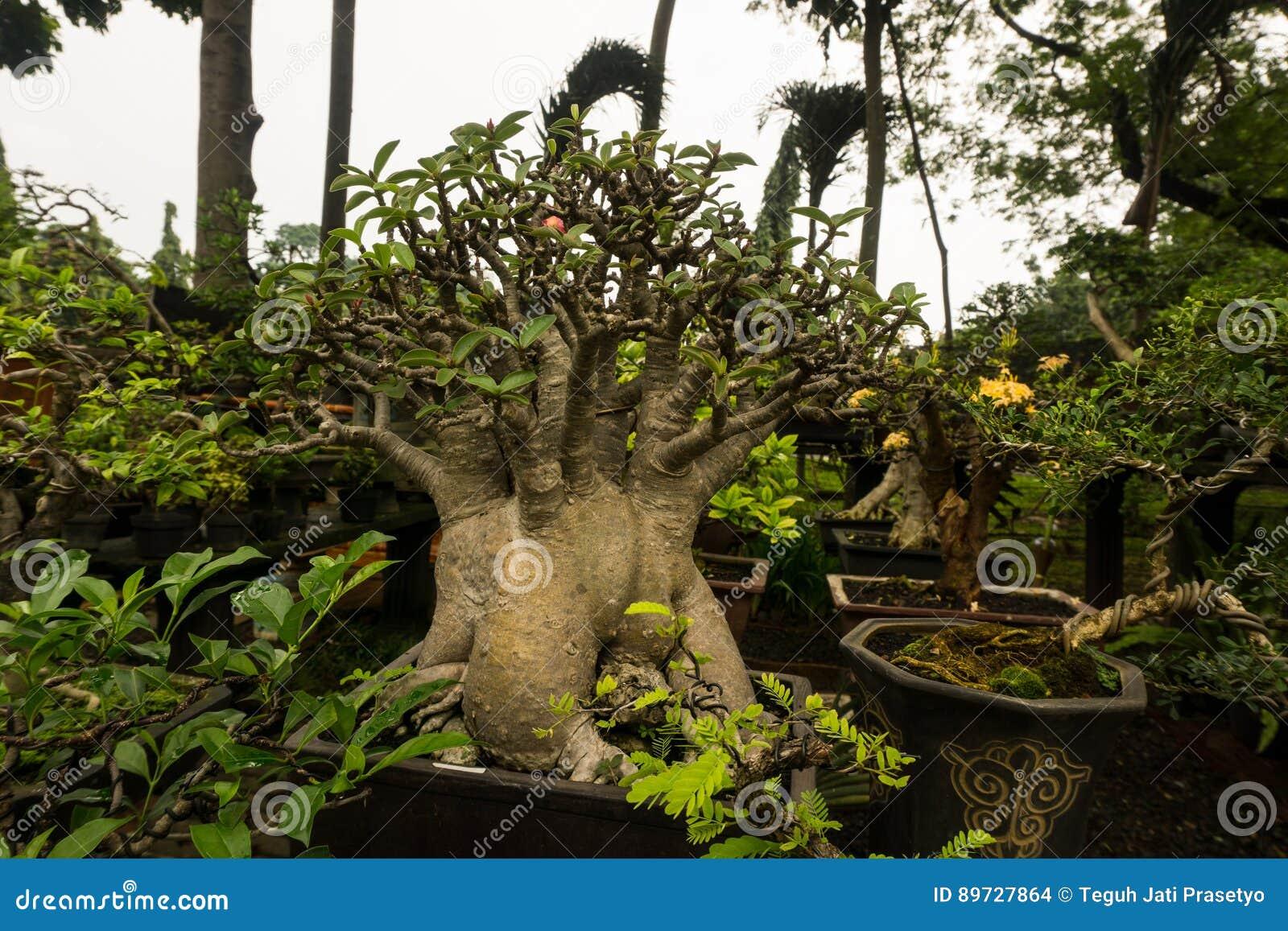 Bonsai drzewo w garnku robić od gliny dla dekoracyjnych rośliien sprzedaje przy roślina sprzedawcy fotografią brać w Dżakarta Ind