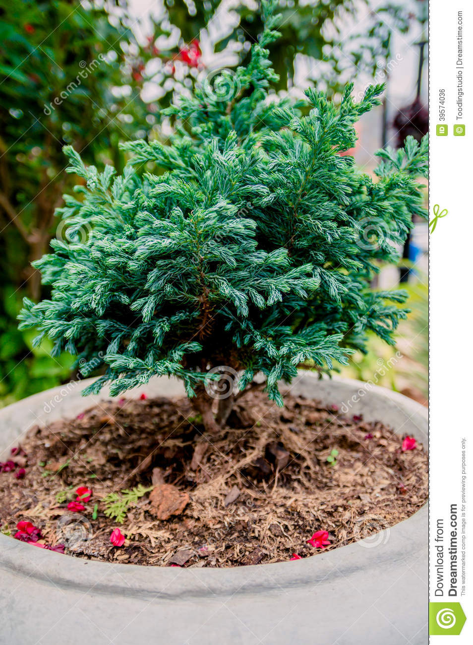 bonsai or dwarf pine trees stock photo  image, Natural flower