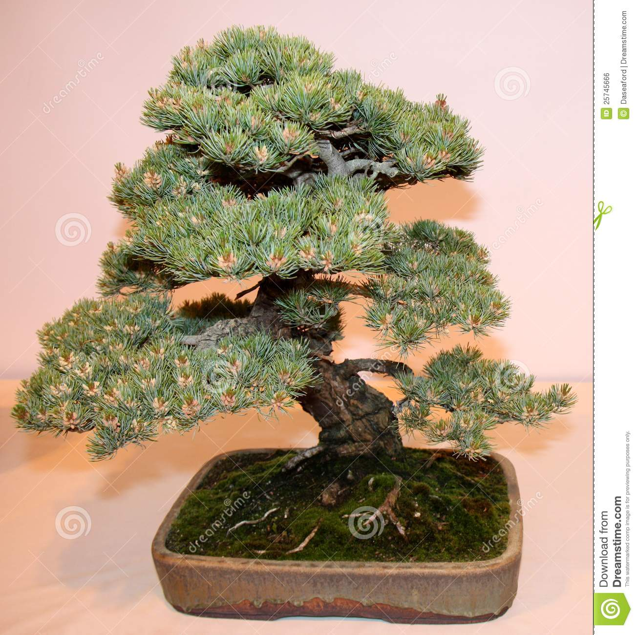 bonsai miniature tree royalty free stock image image 25745666. Black Bedroom Furniture Sets. Home Design Ideas