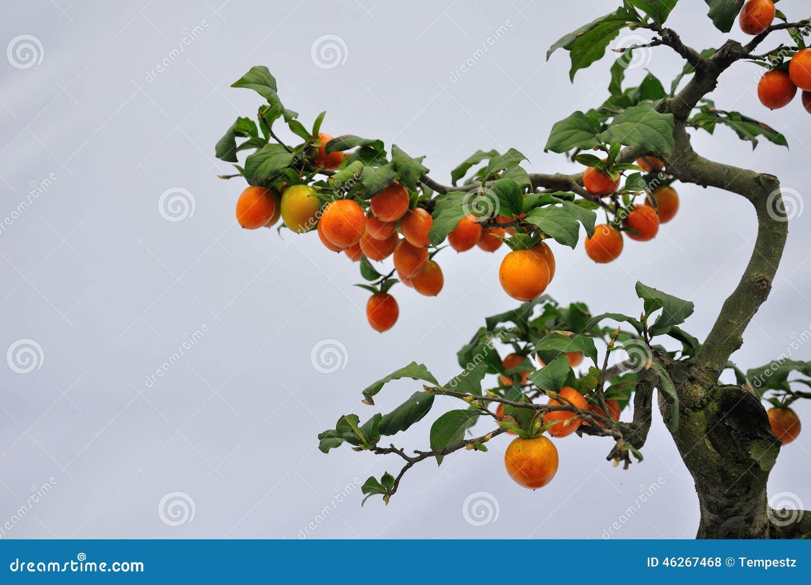 bonsai obstbaum stockfoto bild von beschnitten orange. Black Bedroom Furniture Sets. Home Design Ideas