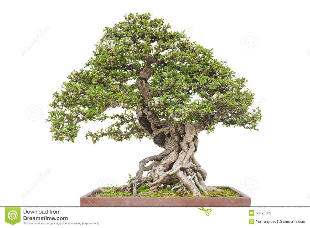 Wiring Yew Bonsai Best Electrical Schematic Diagram Tree Taxus Baccata Stock Photography Pots