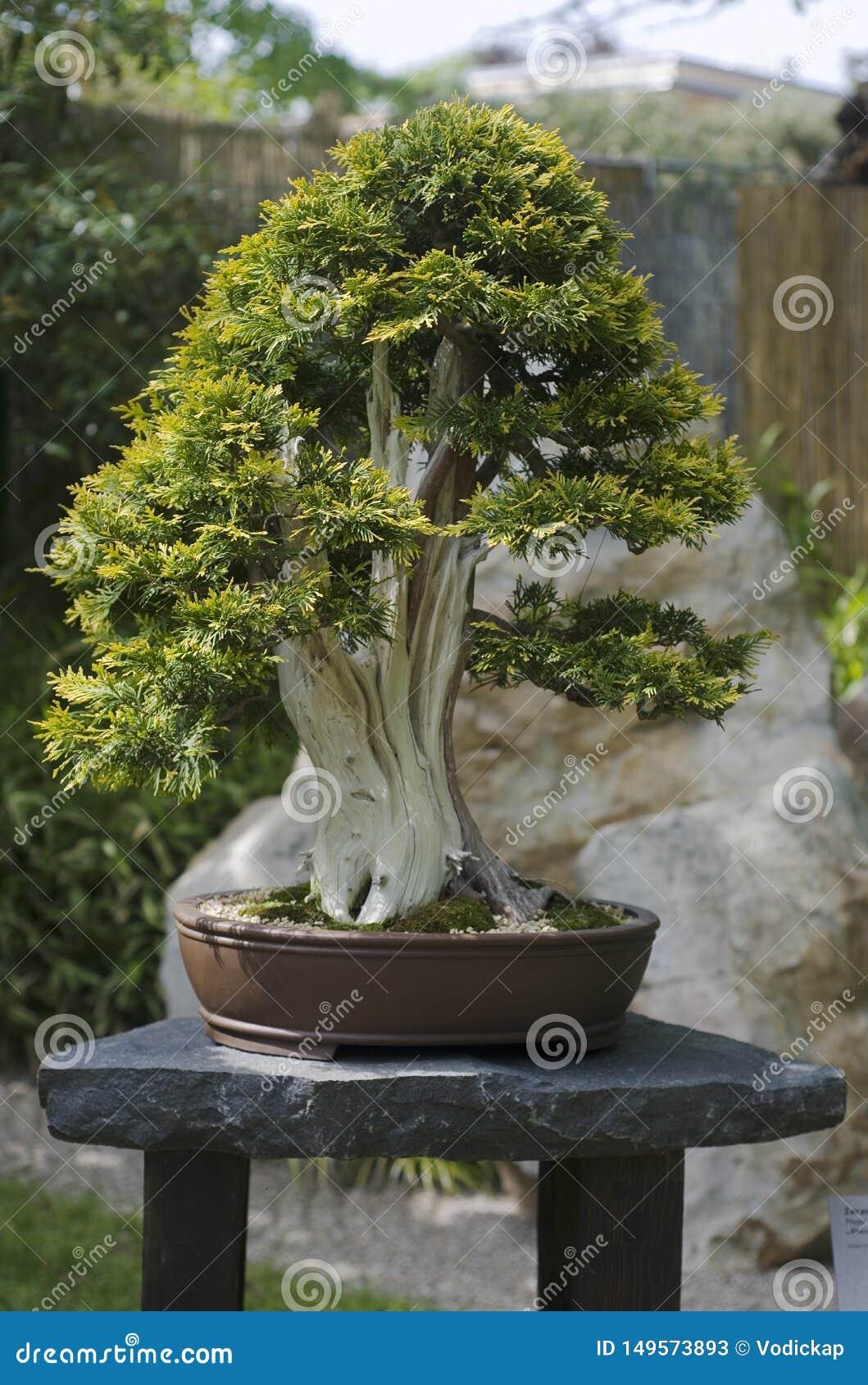 Bonsai From Platycladus Orientalis Tree Stock Image Image Of Bonsai Bark 149573893