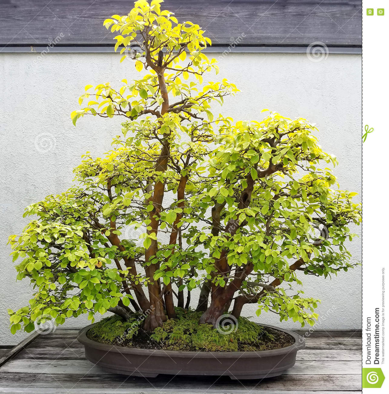 Bonsai Quitte Stockbild Bild Von Quitte Bonsai 82304485