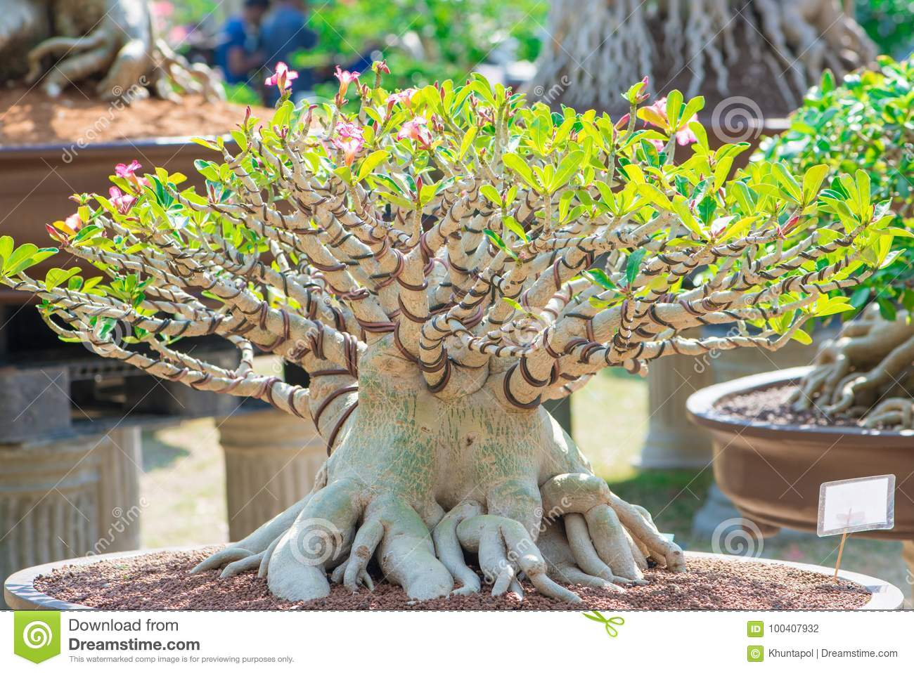 Bonsai Style Of Adenium Tree Or Desert Rose In Flower Pot Stock Photo Image Of Bright Growth 100407932