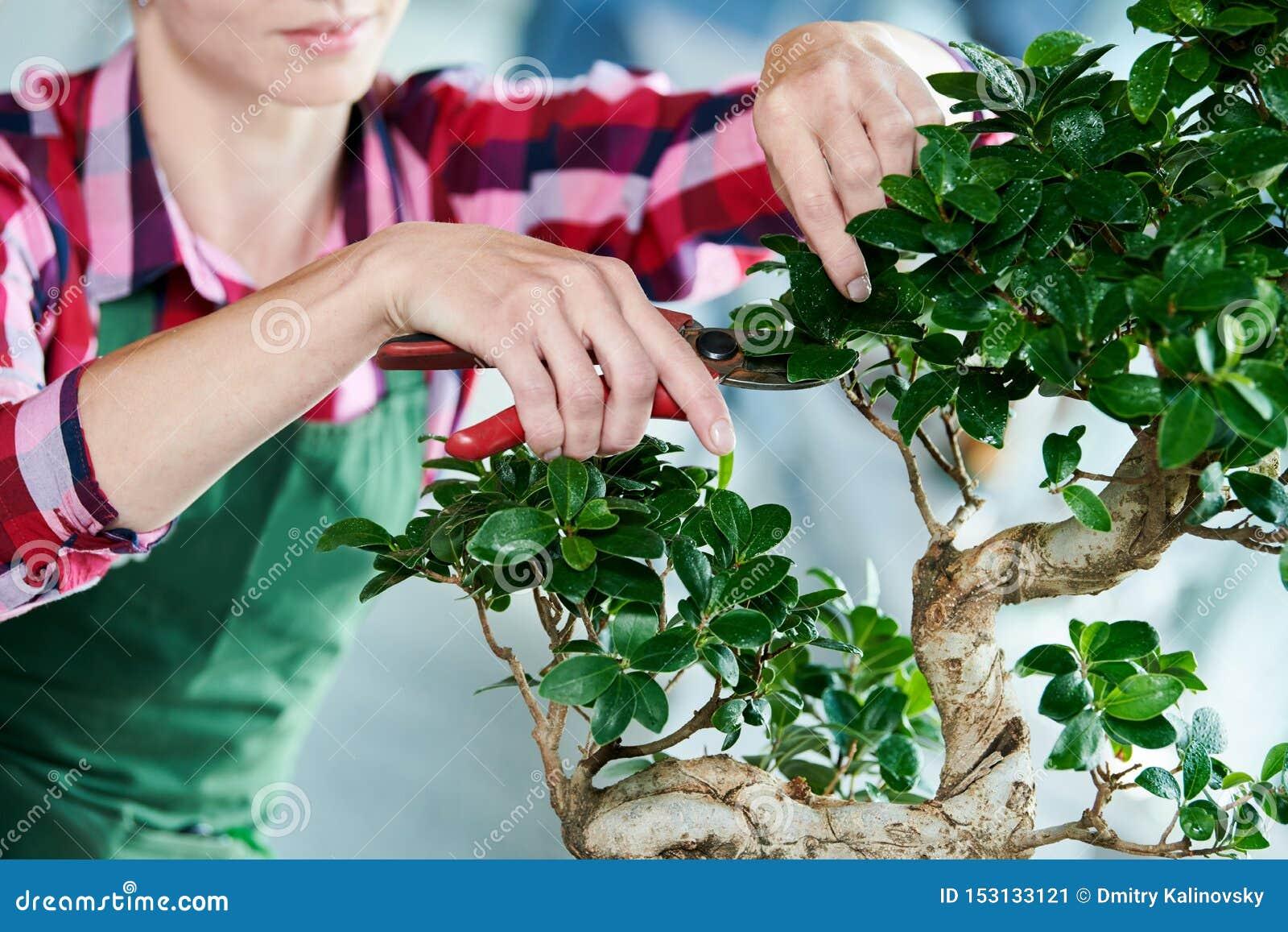 Bonsai. tending houseplant growth. Pruning small tree.