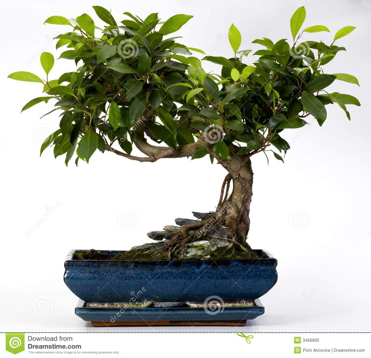 how to take care of a young bonsai tree