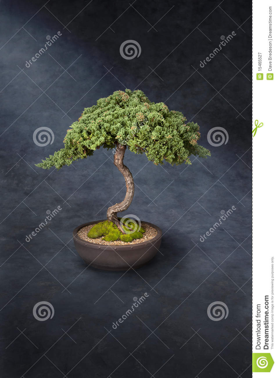 Bonsai Tree Knowledge Wisdom