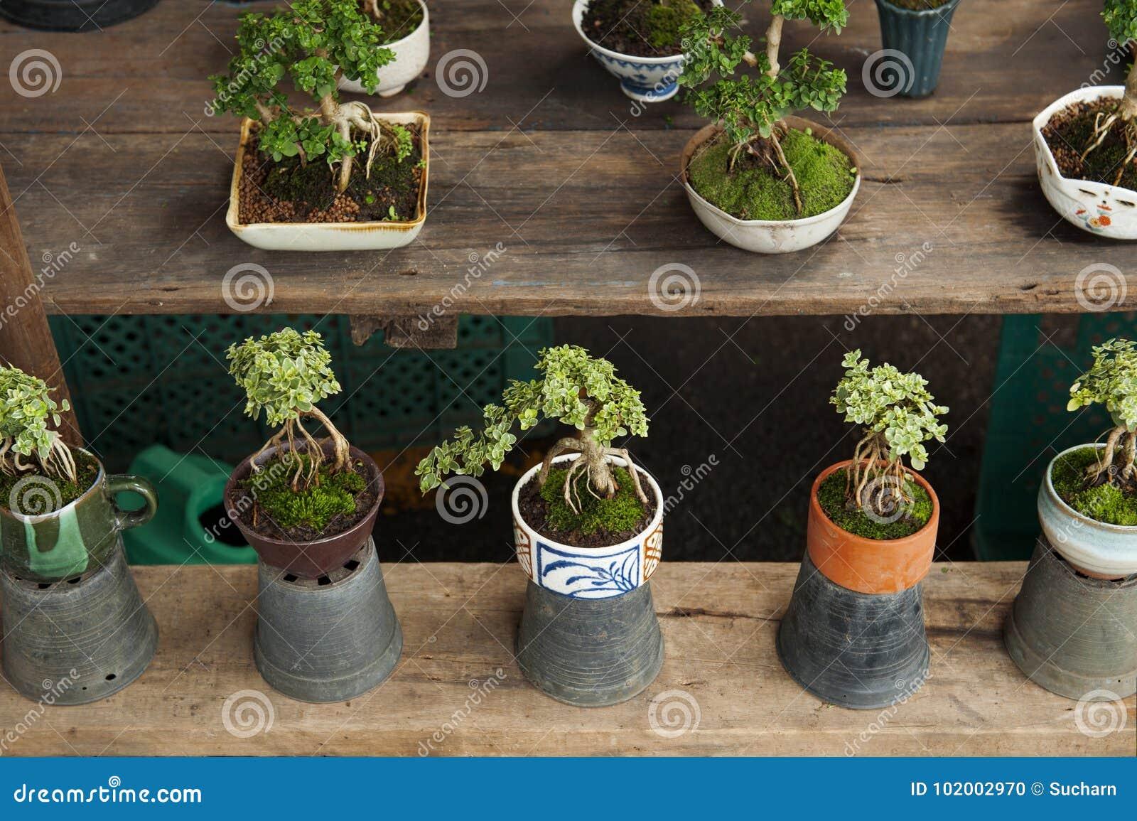 Bonsai Tree For Mini Garden In Shop At Tree Market Stock Photo