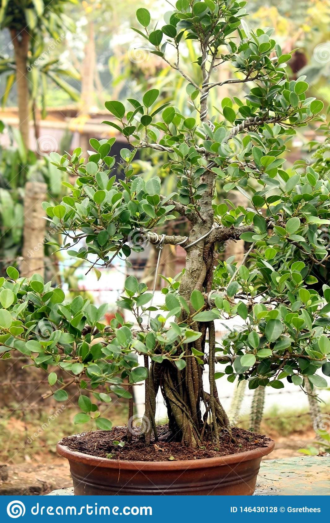 Bonsai Tree In Pots Stock Photo Image Of Plants Flowers 146430128