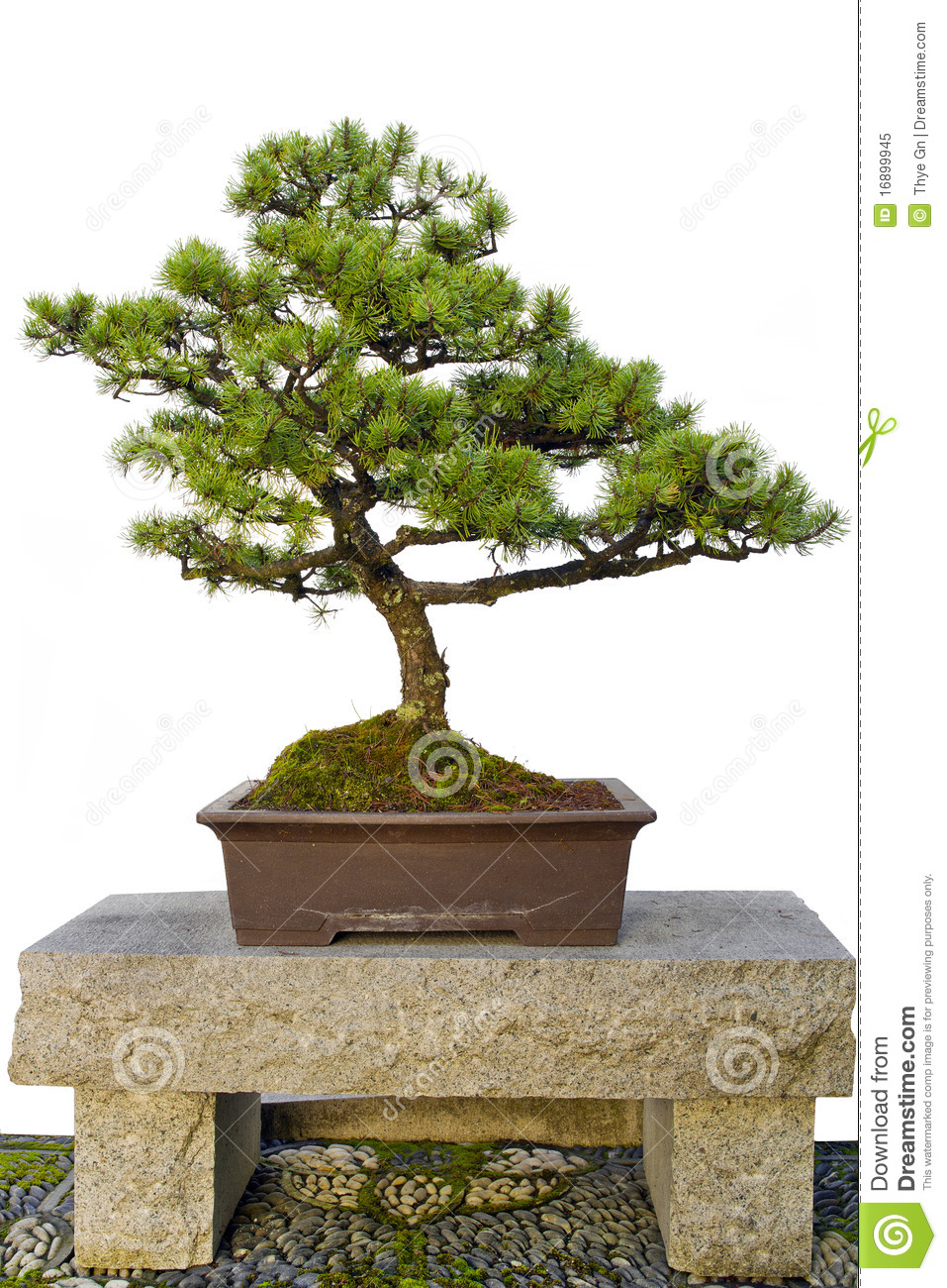 Bonsai Tree On Stone Bench In Chinese Garden Royalty Free