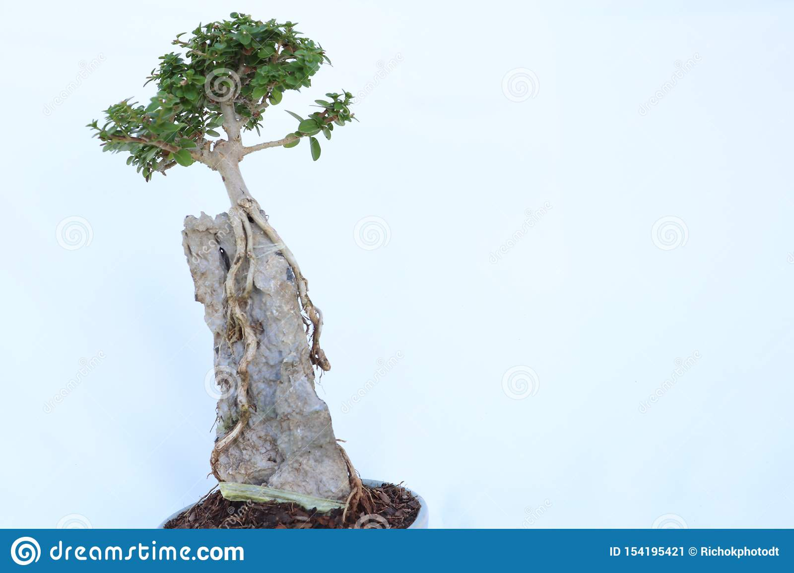 Bonsai Trees Have Long Roots On The Rocks In Small Pots Simulate Nature In The Big Forest Stock Image Image Of Asian Natural 154195421