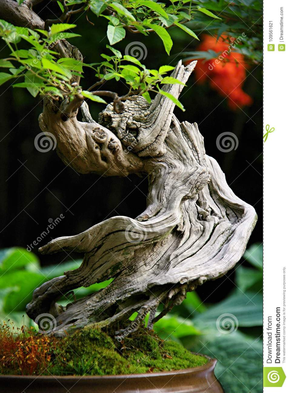 Bonsai With Twisted Trunk Stock Image Image Of Bonsai 109561621