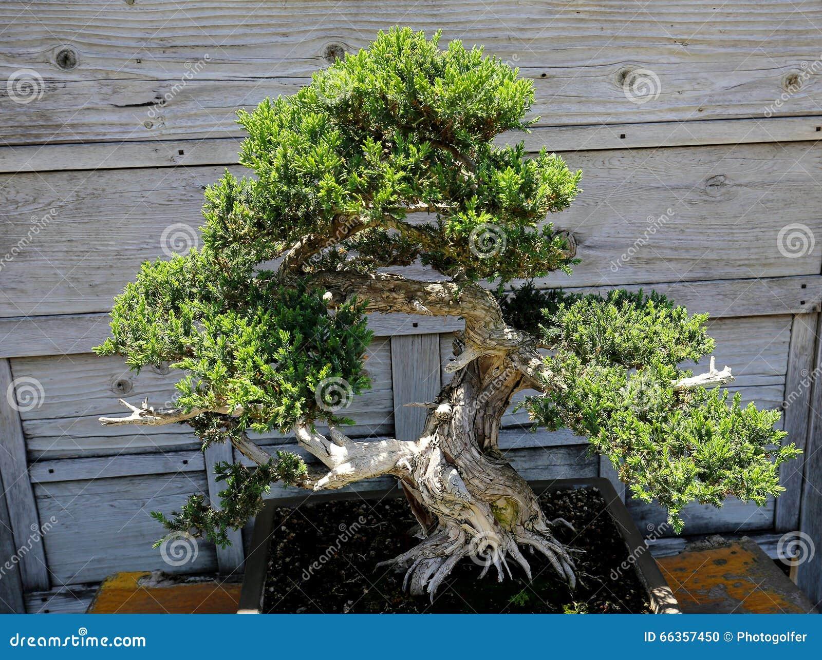 Giardino Zen Bonseki : Bonsai in un giardino giapponese fotografia stock
