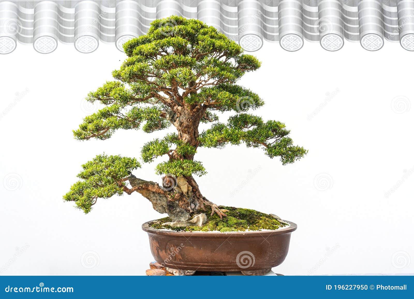 175 Bonsai Yew Photos Free Royalty Free Stock Photos From Dreamstime