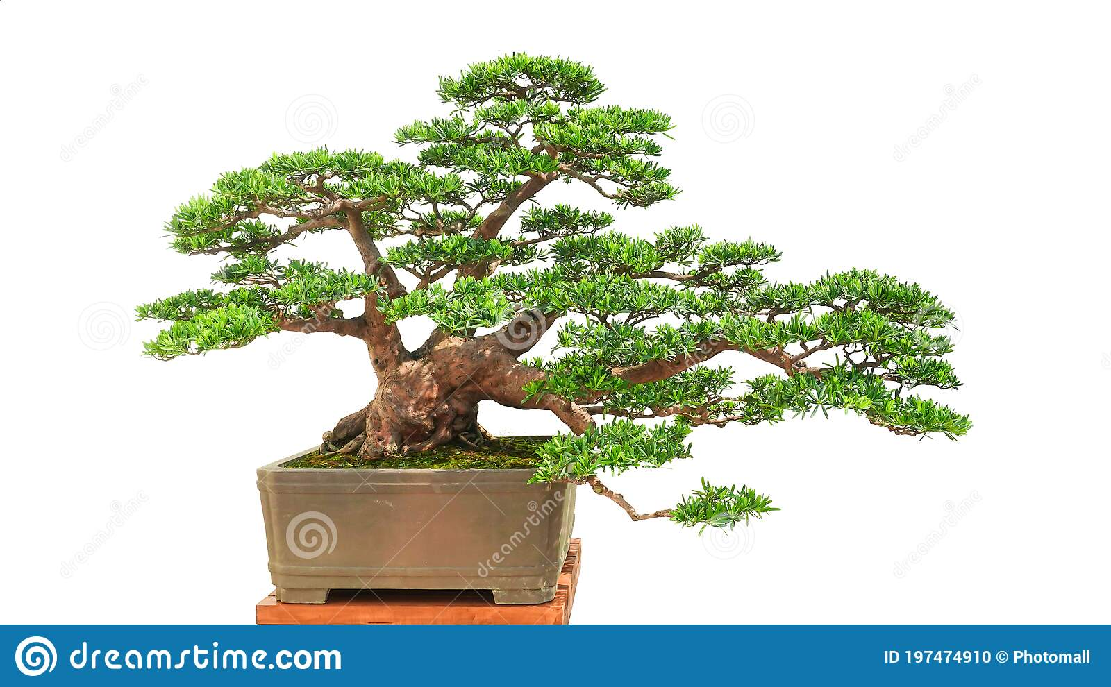 175 Bonsai Yew Photos Free Royalty Free Stock Photos From Dreamstime