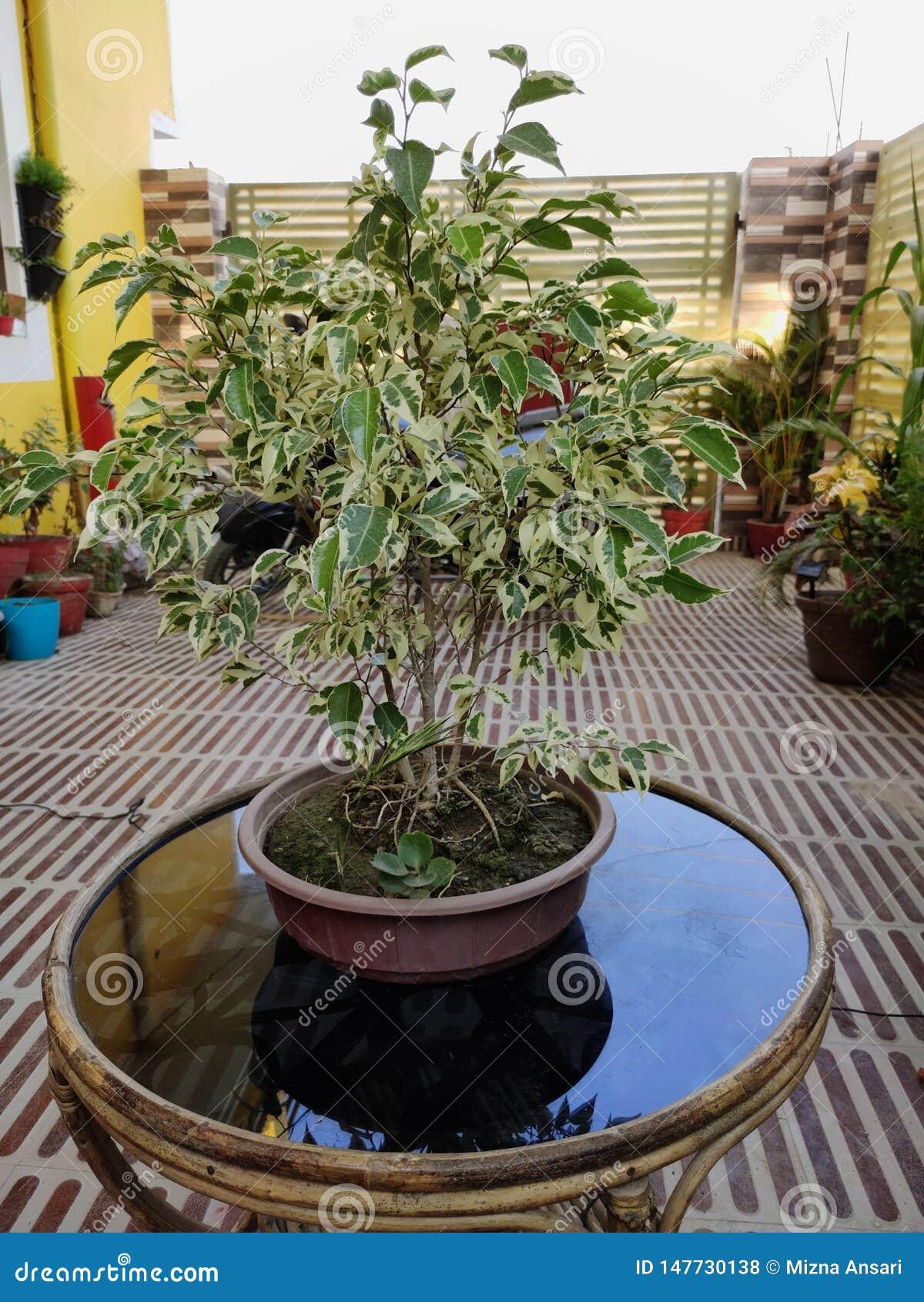 Bonsaifikusväxt