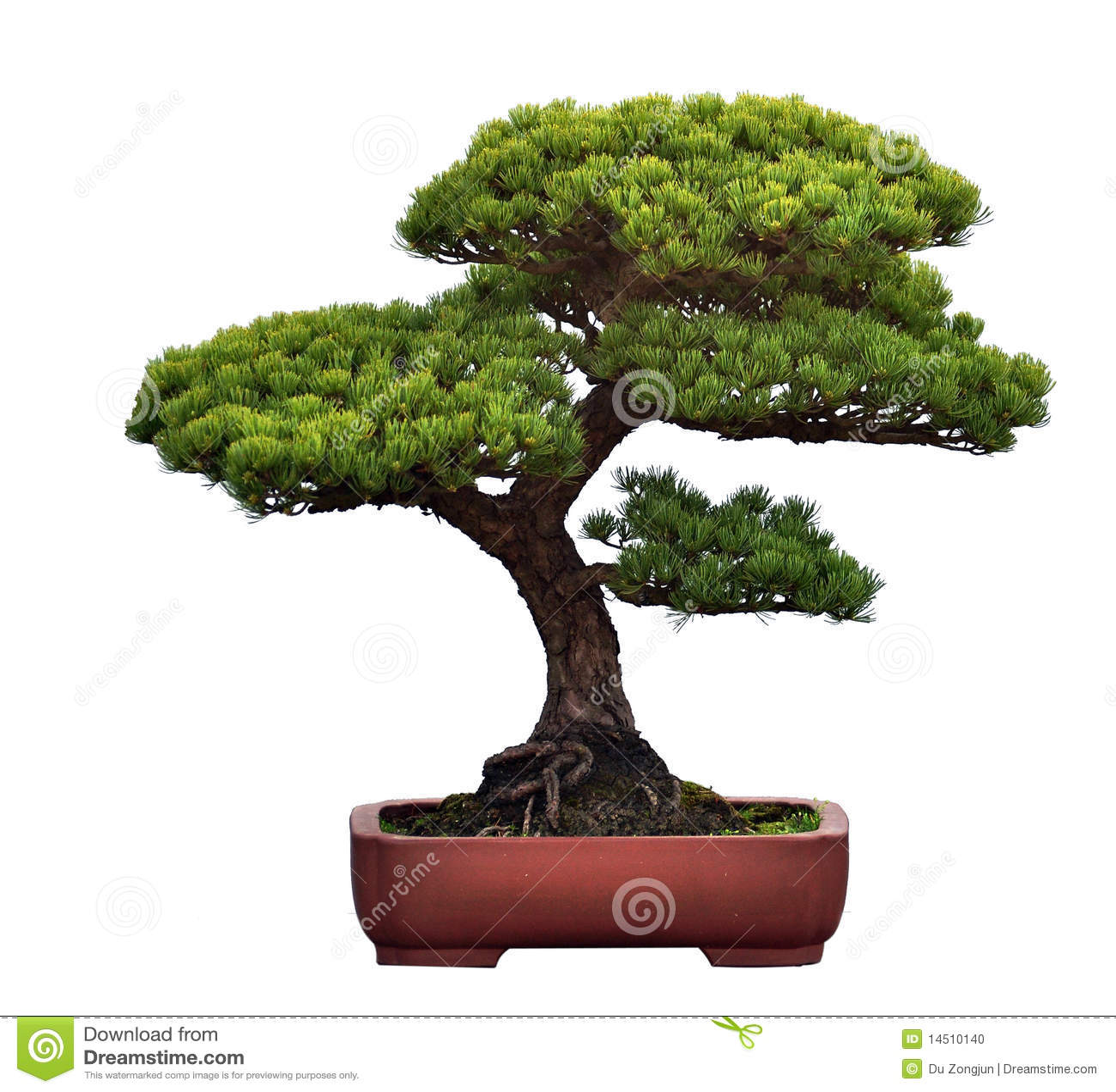 Bonsais del pino foto de archivo imagen 14510140 - Tierra para bonsais ...