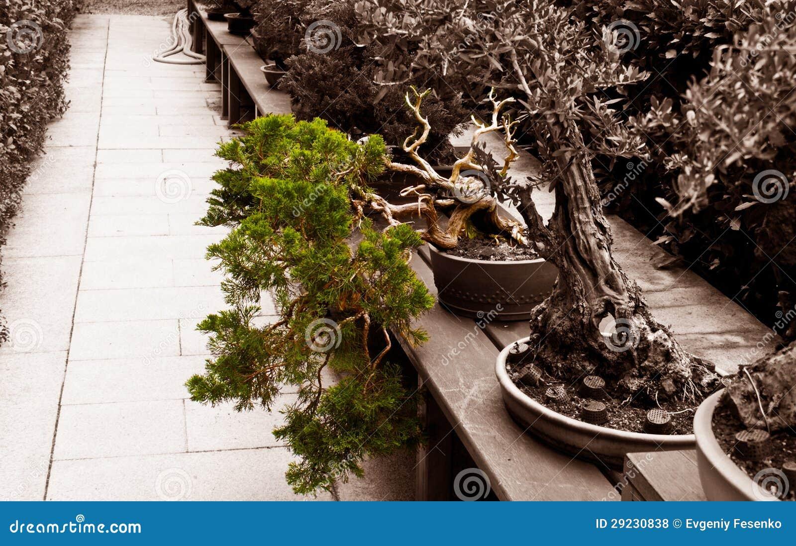 Download Bonsais inclinados foto de stock. Imagem de árvore, inclinar - 29230838