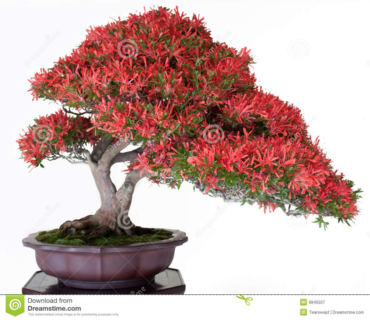 Bonsais japoneses fotograf a de archivo libre de regal as - Plantas para bonsai ...