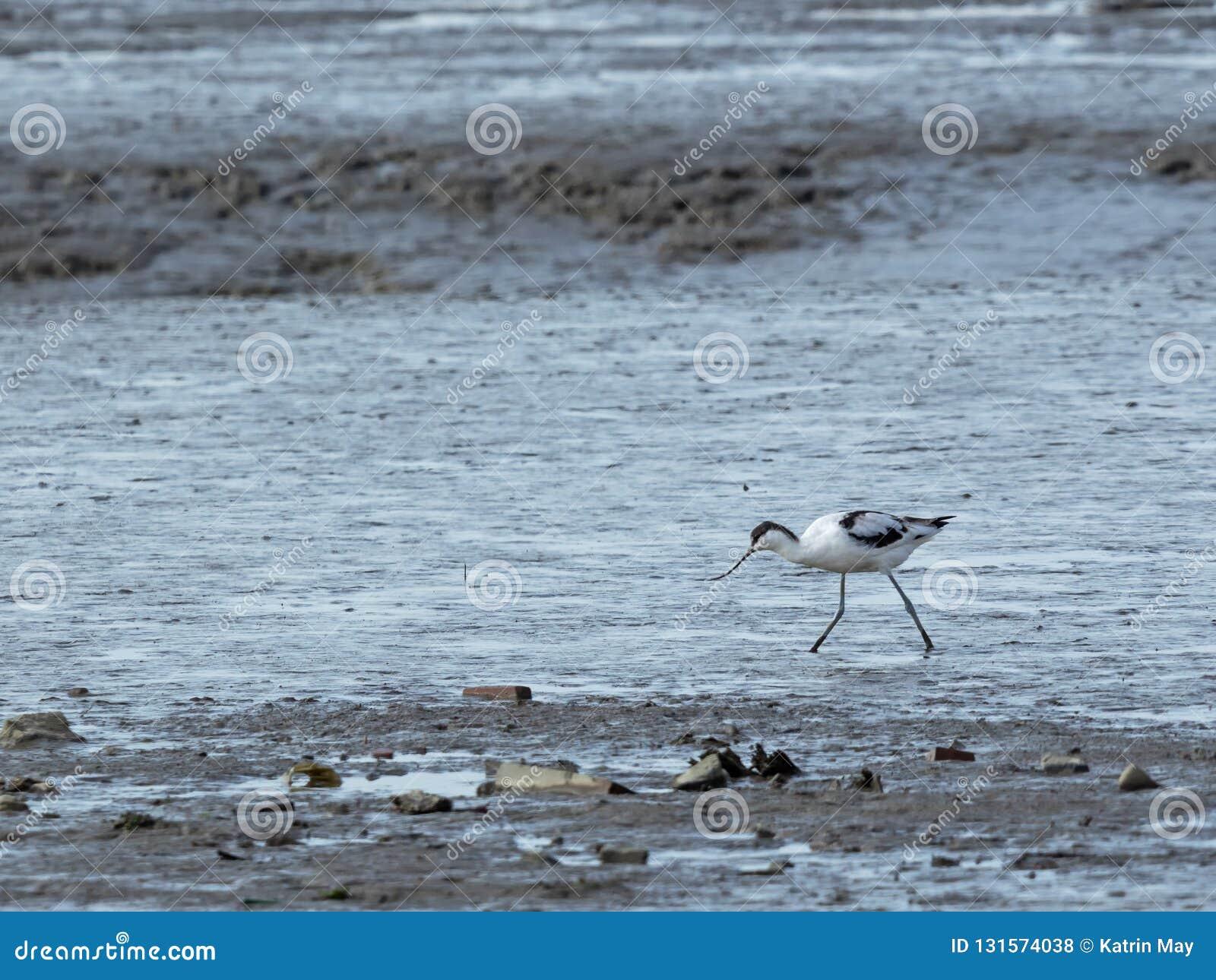 Bonte avocet, Recurvirostra-avosetta, in mudflats
