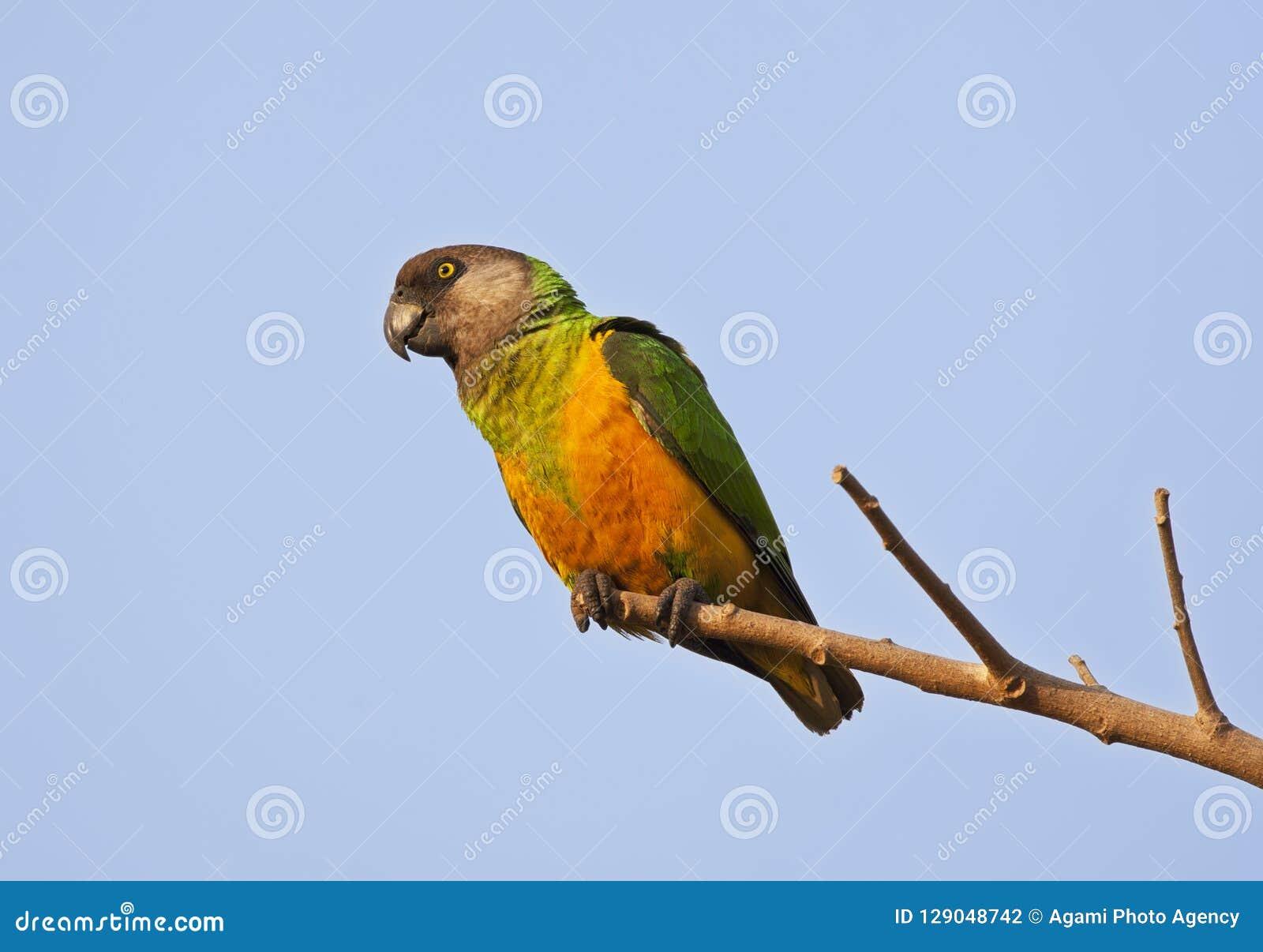 Bonte Boertje, pappagallo del Senegal, senegalus di Poicephalus