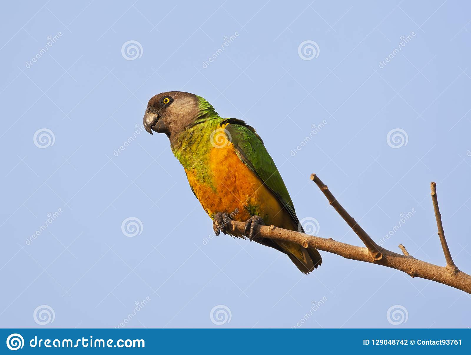 Bonte Boertje, perroquet du Sénégal, senegalus de Poicephalus