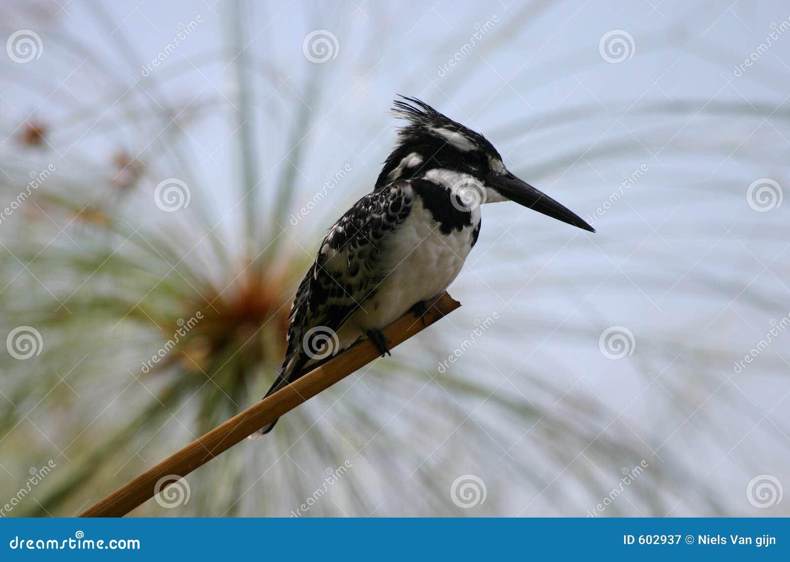 Bonte Ijsvogel