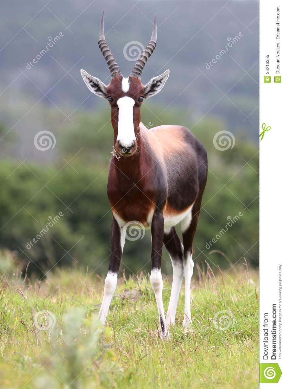 bontebok antelope stock image  image of outdoors  fauna