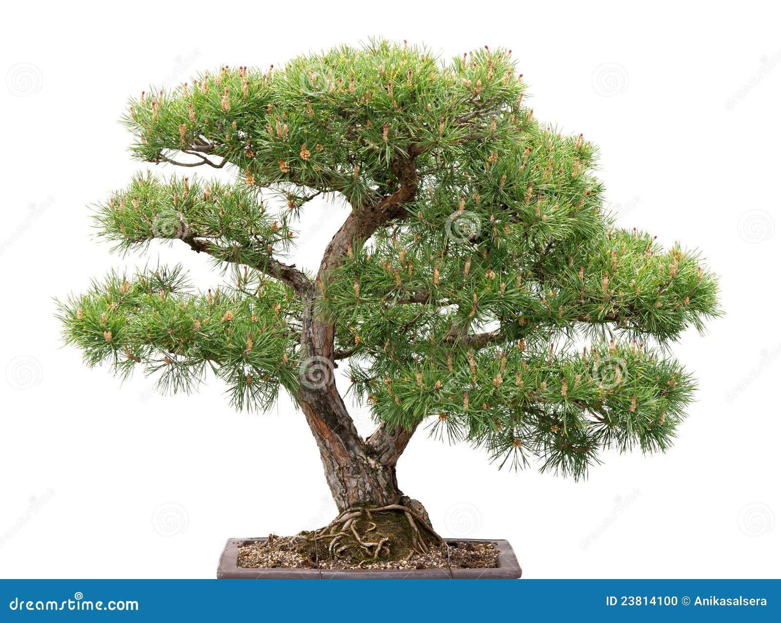 bonzaies arbre de pin sur le fond blanc photo stock image 23814100. Black Bedroom Furniture Sets. Home Design Ideas