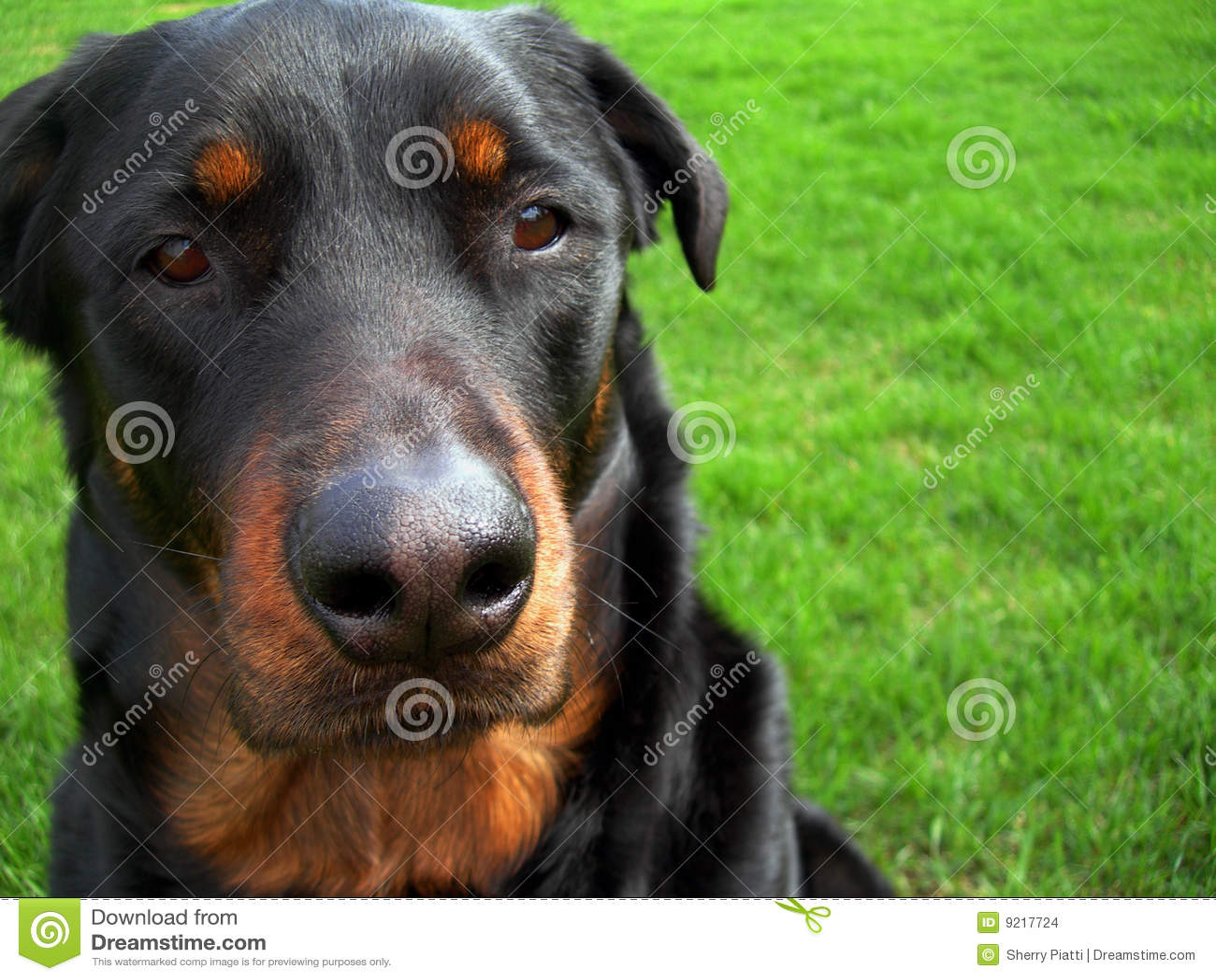 Booboo psa twarz