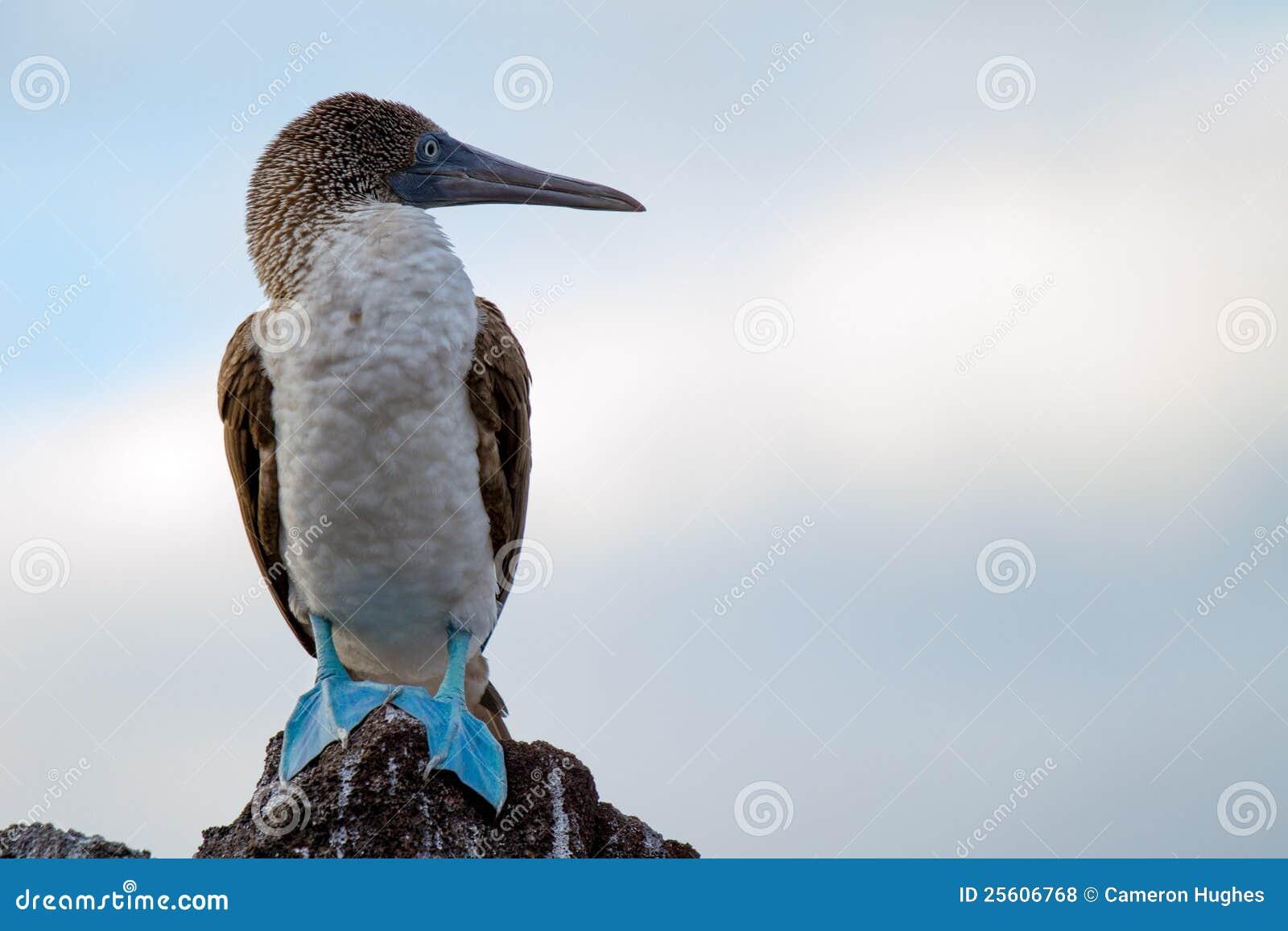 Booby pagado azul dos consoles de Galápagos