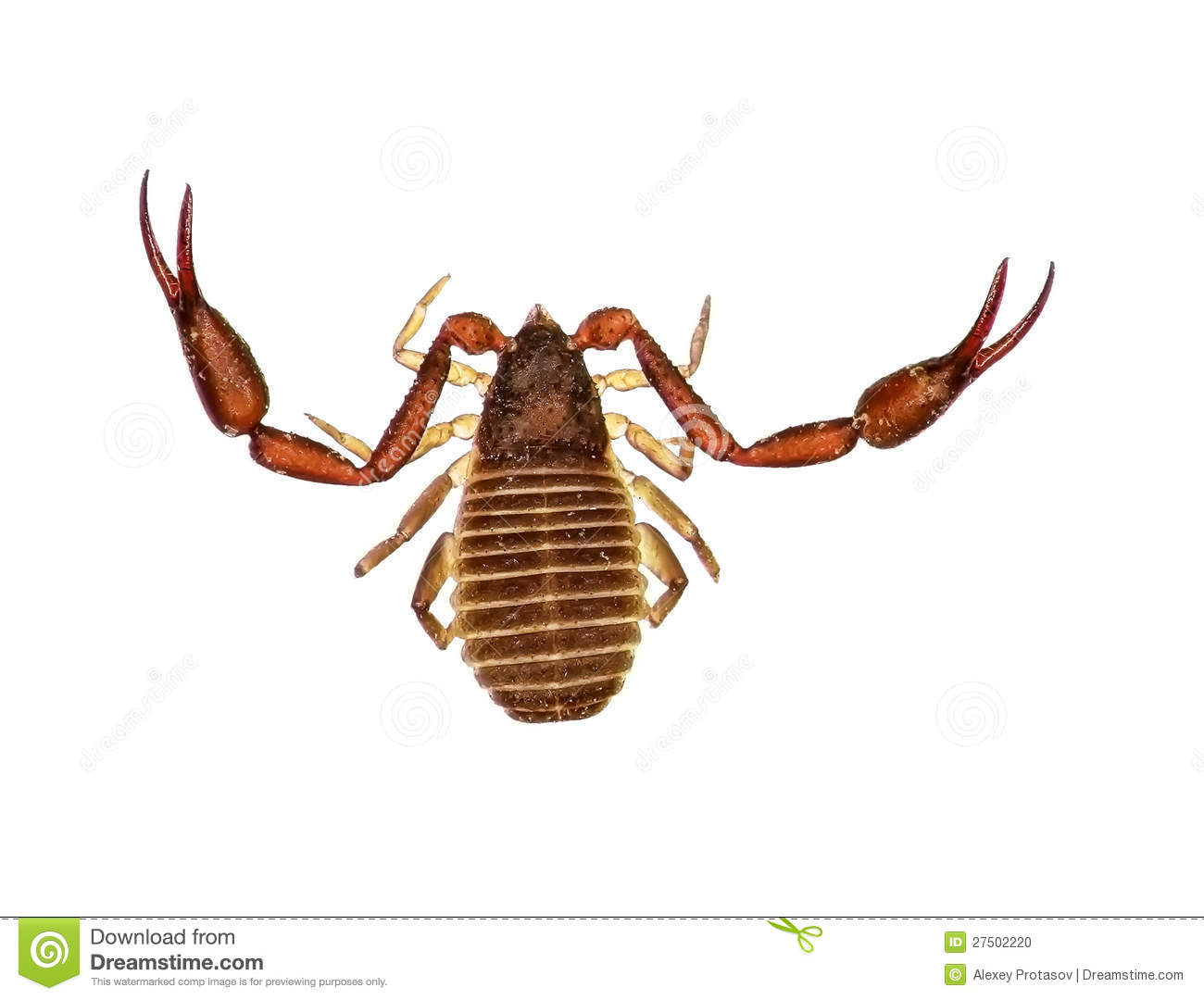 ... as a false scorpion or book scorpion) isolated on a white background