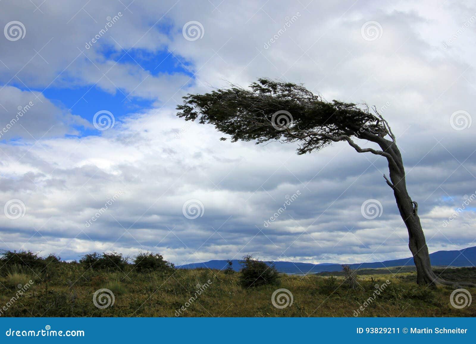 Boom Door Wind Patagonie Argentinie Wordt Misvormd Dat Stock Afbeelding Afbeelding Bestaande Uit Patagonie Door 93829211